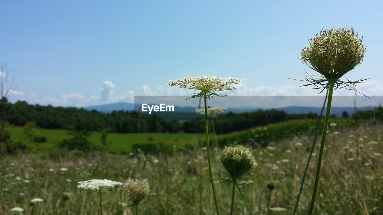 growth, nature, plant, flower, beauty in nature, field, stem, fragility, tranquility, uncultivated, no people, outdoors, day, tranquil scene, freshness, sky, scenics, thistle, close-up, flower head