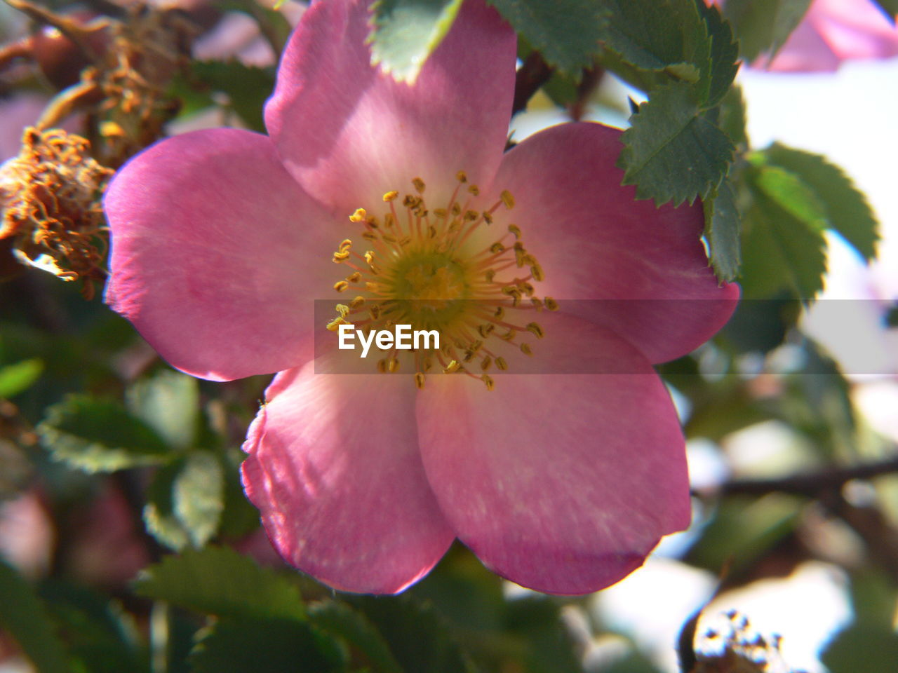 flower, petal, fragility, beauty in nature, nature, growth, flower head, freshness, plant, blooming, blossom, day, no people, pollen, close-up, outdoors, stamen, springtime, pink color, wild rose, tree