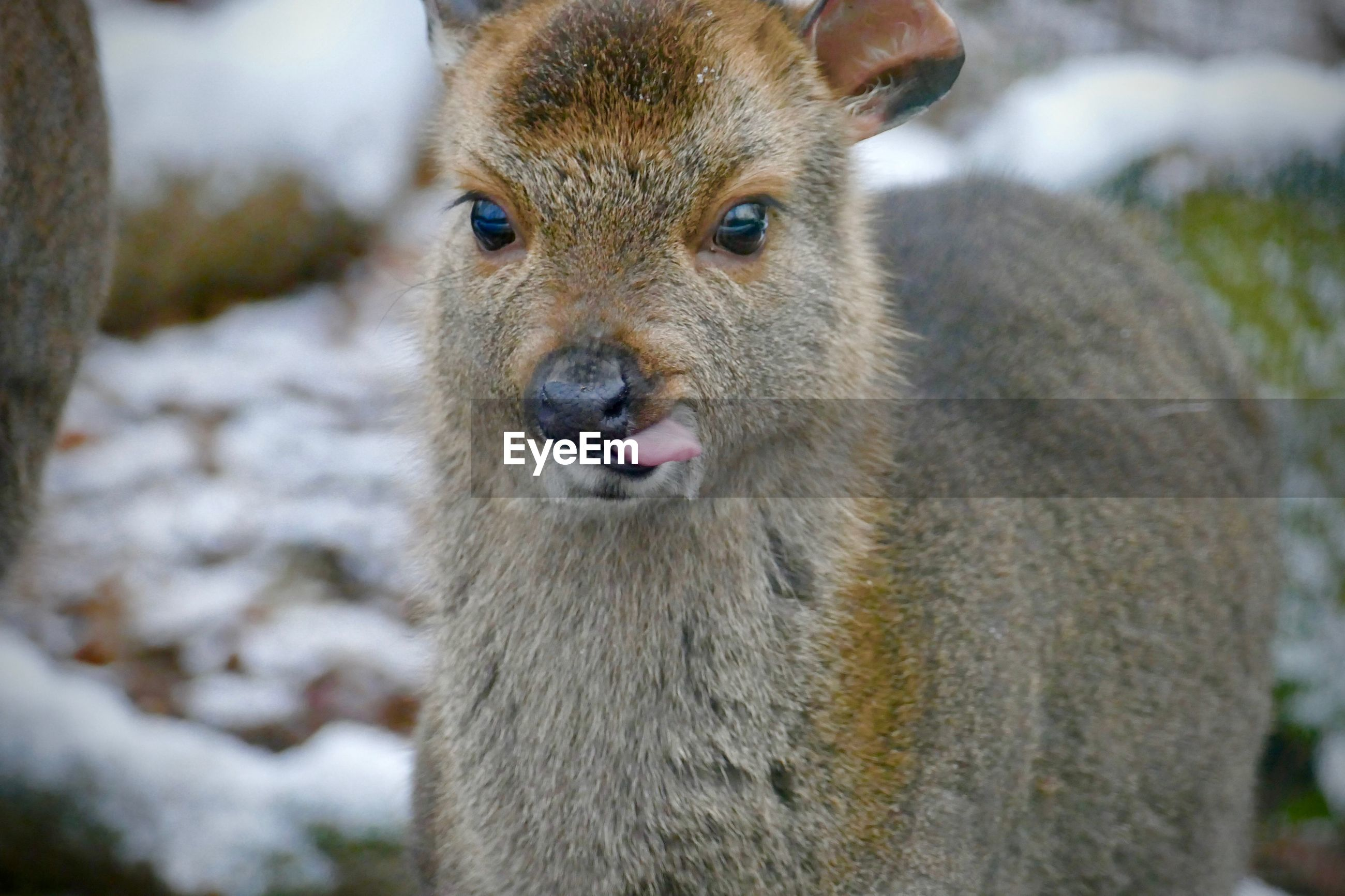 one animal, mammal, vertebrate, portrait, animal wildlife, animals in the wild, looking at camera, focus on foreground, close-up, day, no people, domestic animals, outdoors, field, nature, animal body part, land, snout, herbivorous, whisker