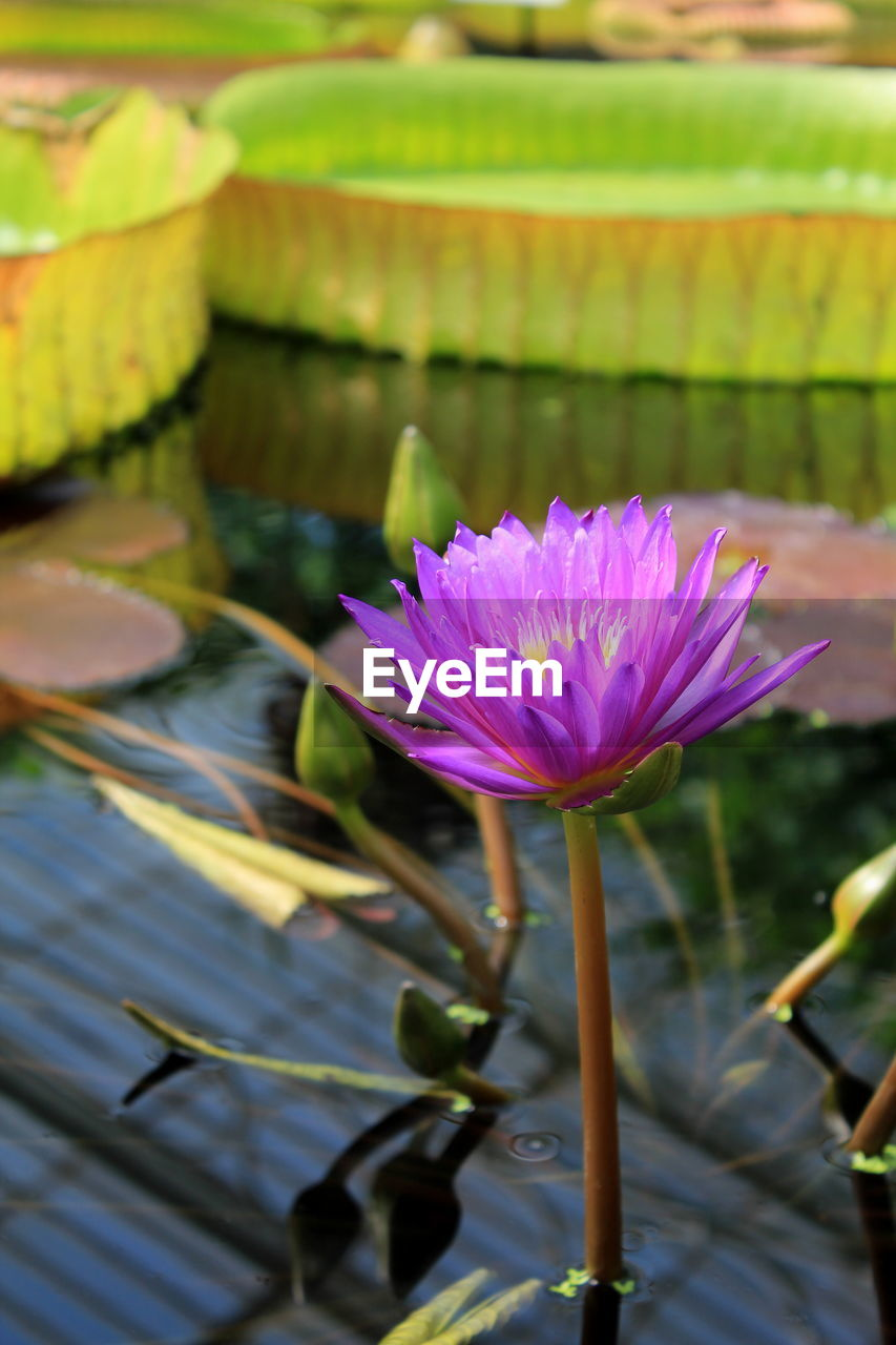 flower, beauty in nature, nature, freshness, fragility, lotus water lily, water lily, petal, growth, no people, flower head, lotus, day, close-up, water, leaf, plant, outdoors, lily pad