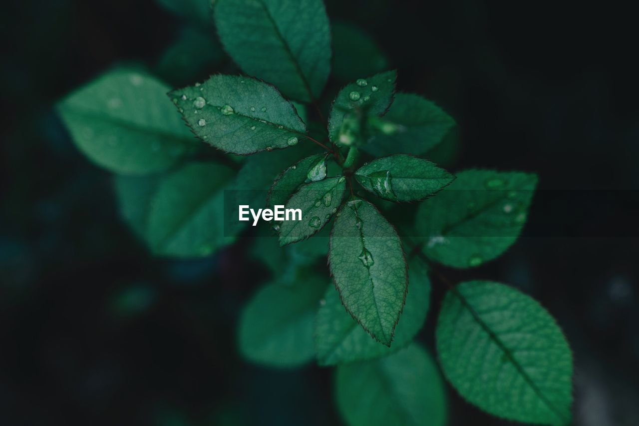 leaf, plant part, green color, growth, plant, close-up, beauty in nature, nature, no people, drop, day, water, focus on foreground, outdoors, high angle view, selective focus, freshness, wet, leaf vein, leaves, clover, dew