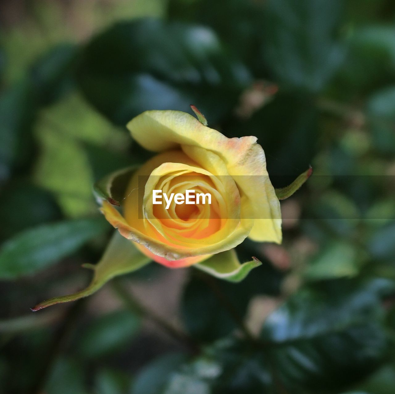 flower, petal, rose - flower, nature, growth, beauty in nature, fragility, flower head, plant, no people, yellow, close-up, blooming, freshness, outdoors, day