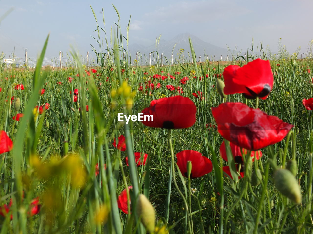 flower, red, growth, nature, beauty in nature, poppy, plant, petal, field, fragility, freshness, grass, flower head, no people, blooming, outdoors, day, green color, tranquility, close-up, sky