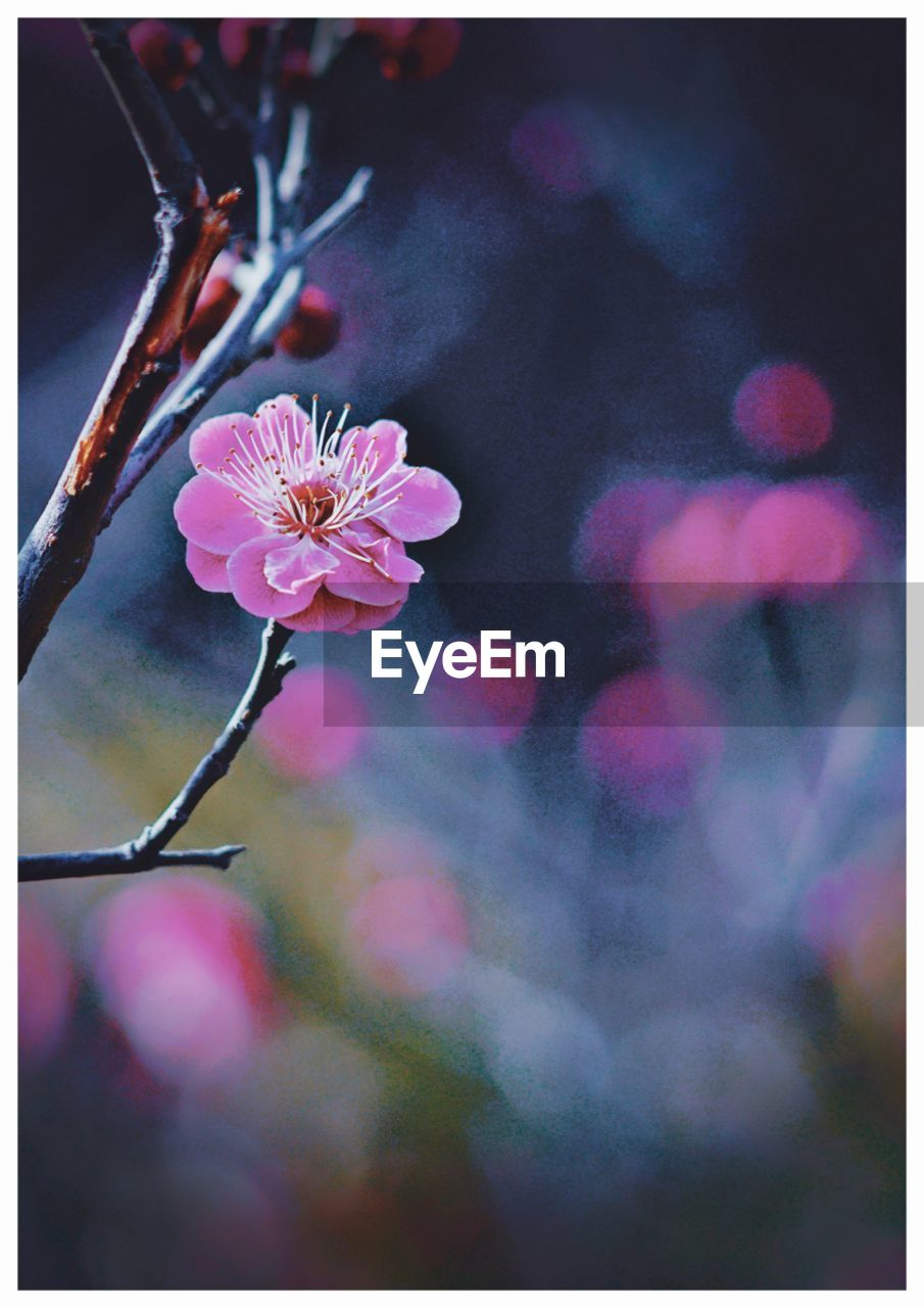 flower, fragility, beauty in nature, nature, growth, petal, freshness, close-up, outdoors, no people, pink color, twig, focus on foreground, flower head, blossom, branch, plant, day, springtime, blooming, tree, sky