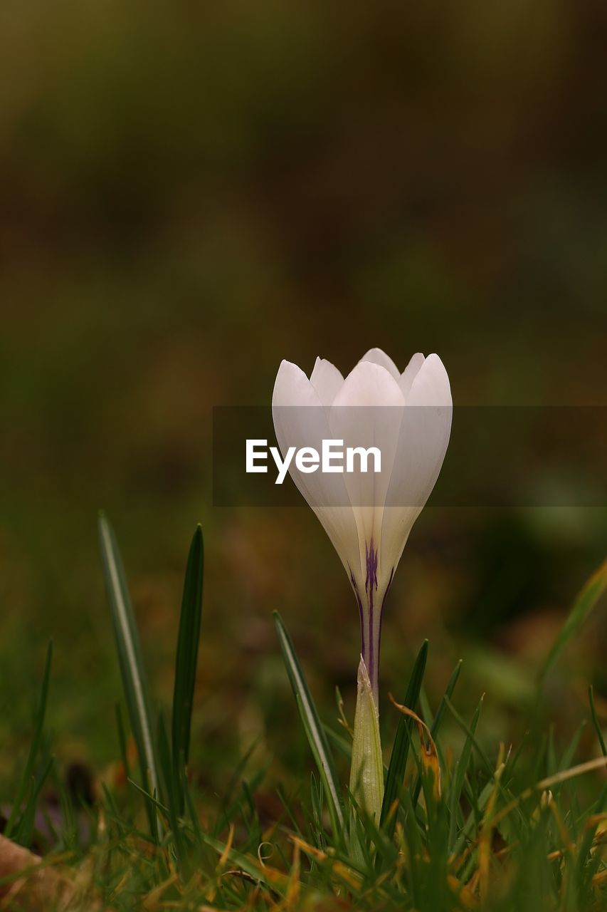Close-Up Of White Crocus Blooming On Field