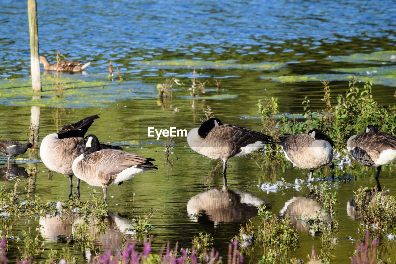 water, animals in the wild, animal themes, bird, lake, animal wildlife, animal, group of animals, vertebrate, reflection, no people, waterfront, nature, beauty in nature, day, outdoors, goose, plant, togetherness, animal family, flock of birds