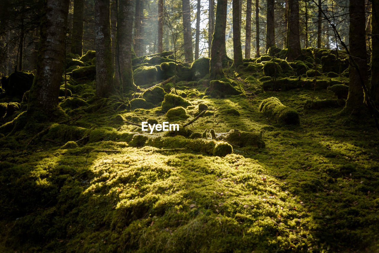 forest, tree, plant, land, tree trunk, trunk, nature, no people, woodland, moss, beauty in nature, growth, tranquility, green color, day, tranquil scene, outdoors, sunlight, non-urban scene, scenics - nature