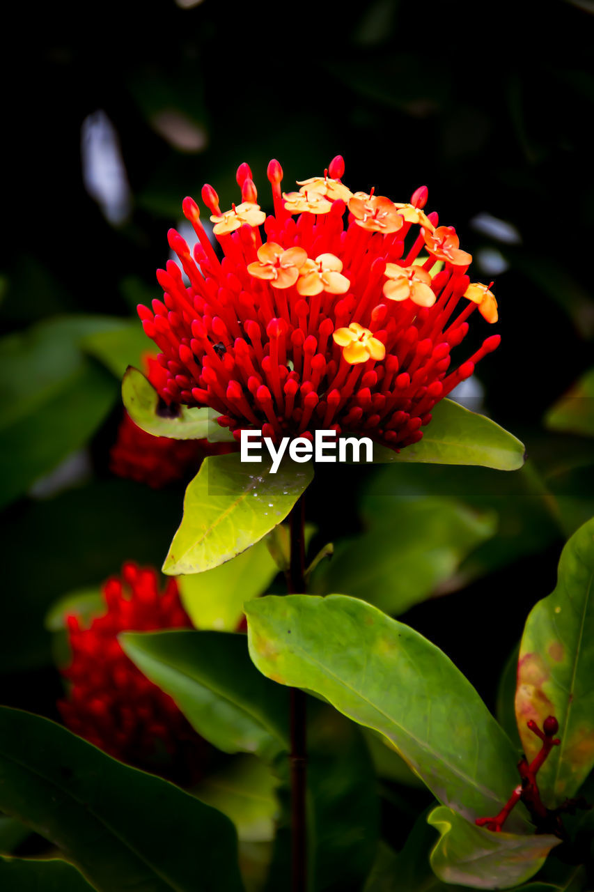 flower, beauty in nature, petal, fragility, nature, flower head, growth, red, freshness, plant, no people, close-up, blooming, green color, leaf, day, outdoors, zinnia