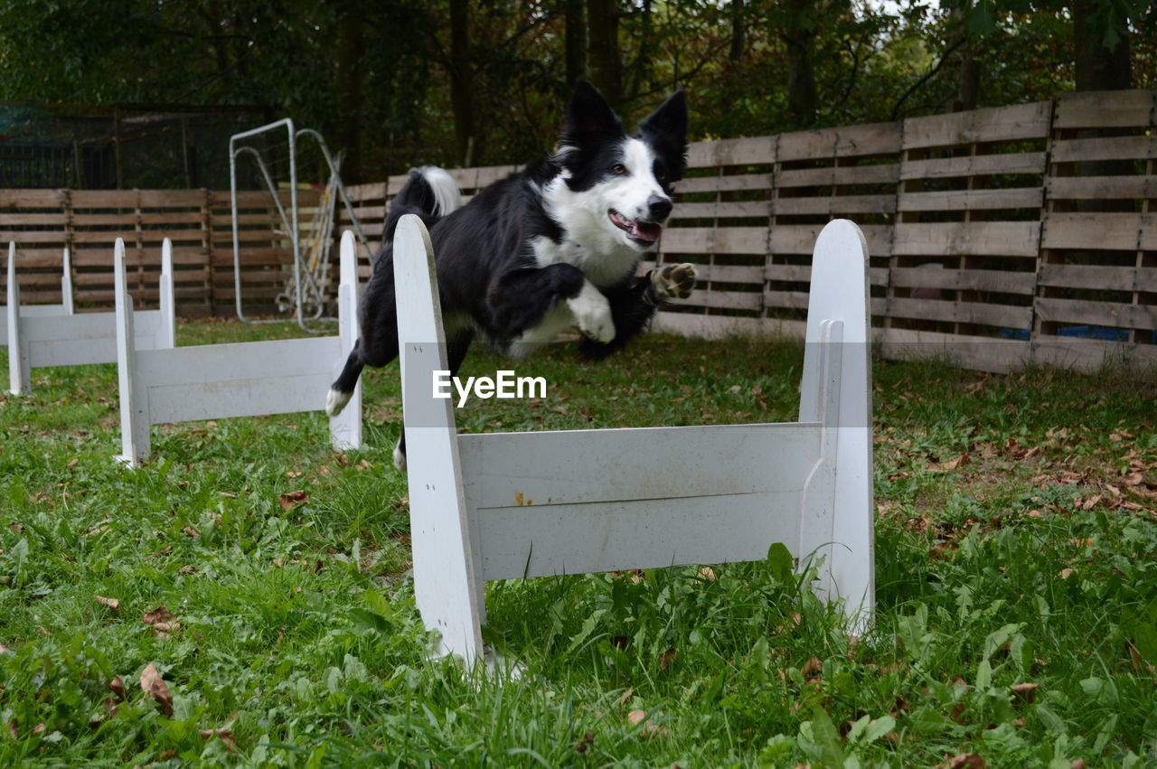 one animal, mammal, animal, animal themes, pets, domestic, domestic animals, canine, dog, plant, grass, vertebrate, nature, day, running, jumping, land, fence, green color, no people, border collie