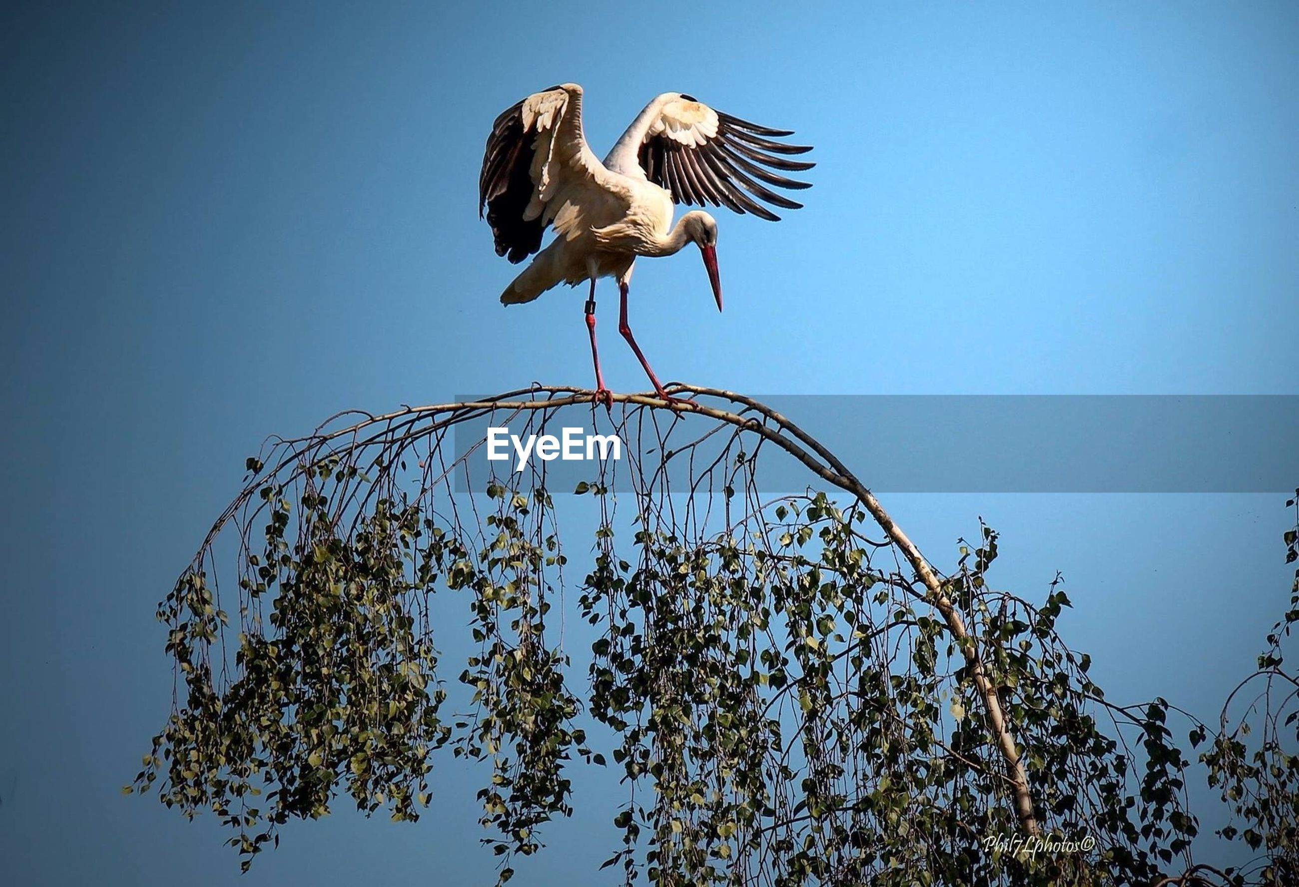 bird, animal themes, animals in the wild, wildlife, low angle view, clear sky, spread wings, flying, perching, blue, one animal, full length, two animals, mid-air, nature, branch, copy space, day, zoology, tree