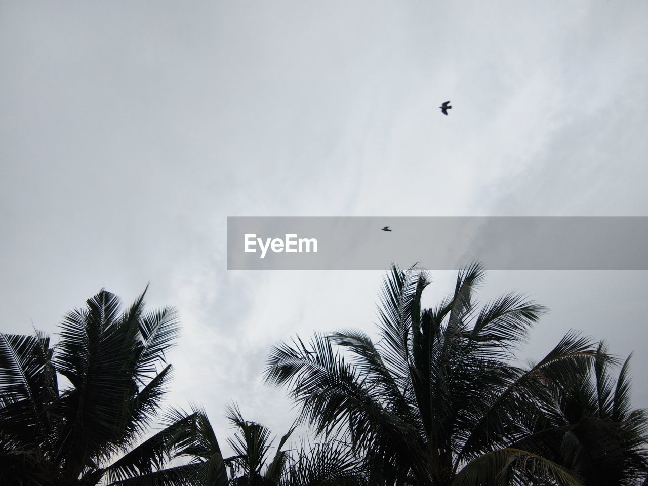 sky, plant, tree, low angle view, palm tree, flying, tropical climate, vertebrate, bird, cloud - sky, animal themes, nature, animals in the wild, animal, day, growth, animal wildlife, mid-air, no people, beauty in nature, outdoors, palm leaf, coconut palm tree