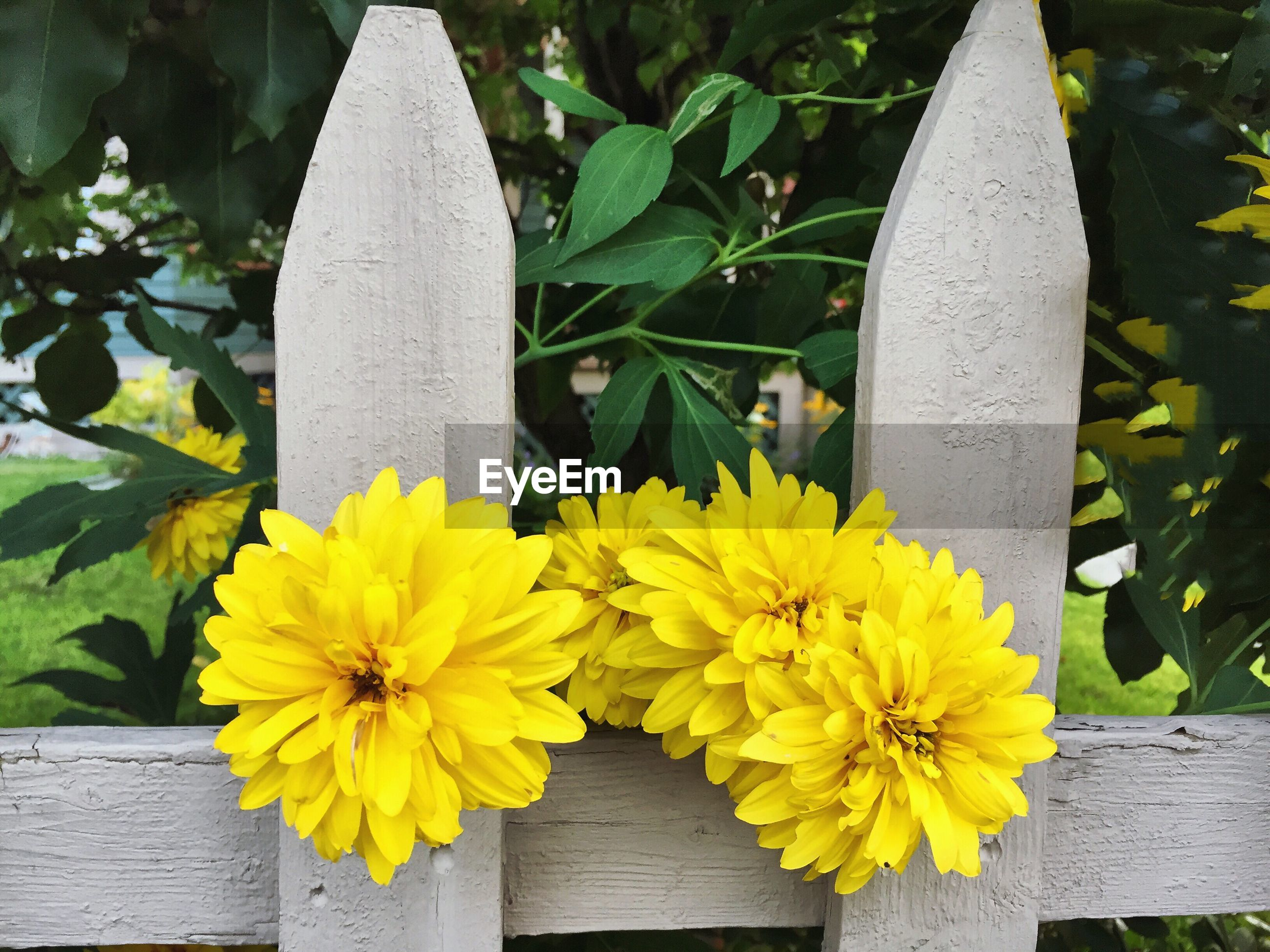 Yellow flowers blooming by wooden fence