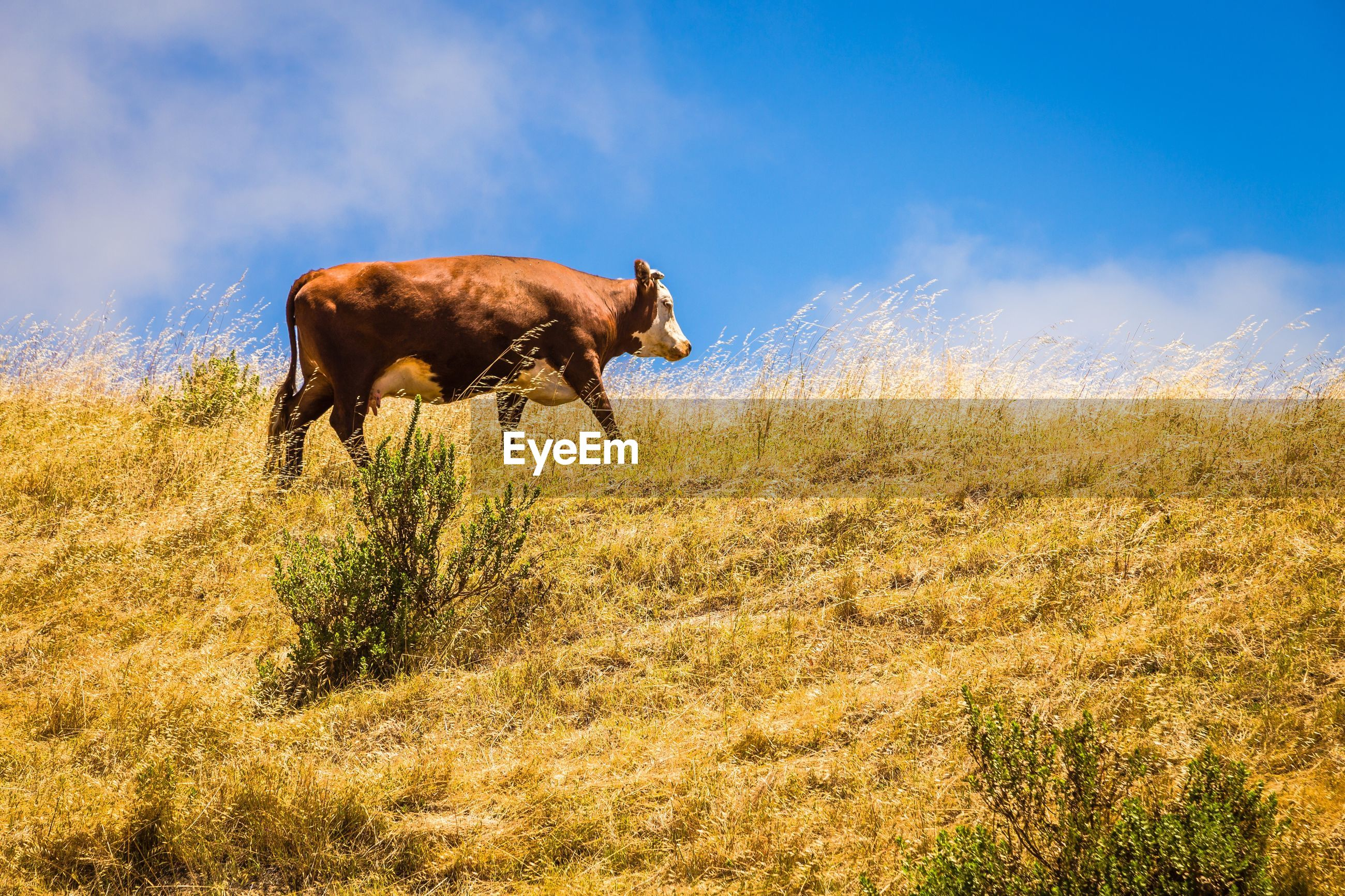 Low angle view of cow walking on grassy field against sky