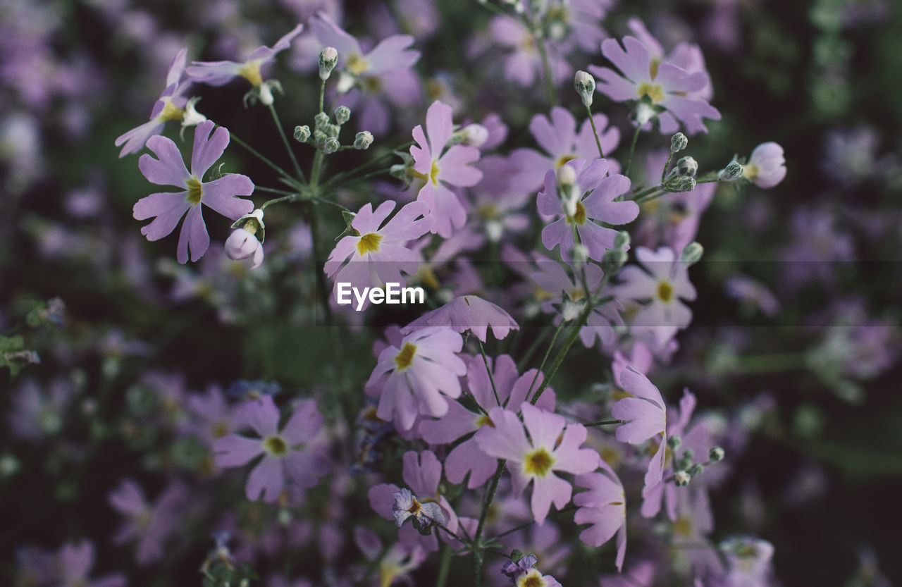 flowering plant, flower, fragility, vulnerability, freshness, plant, growth, beauty in nature, close-up, petal, flower head, day, inflorescence, nature, focus on foreground, selective focus, no people, purple, outdoors, botany, bunch of flowers
