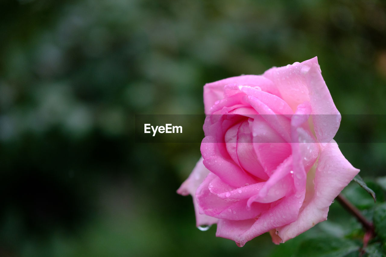 flower, petal, rose - flower, fragility, nature, flower head, beauty in nature, pink color, growth, freshness, blooming, focus on foreground, outdoors, close-up, day, drop, no people, wet, plant, rose petals, water