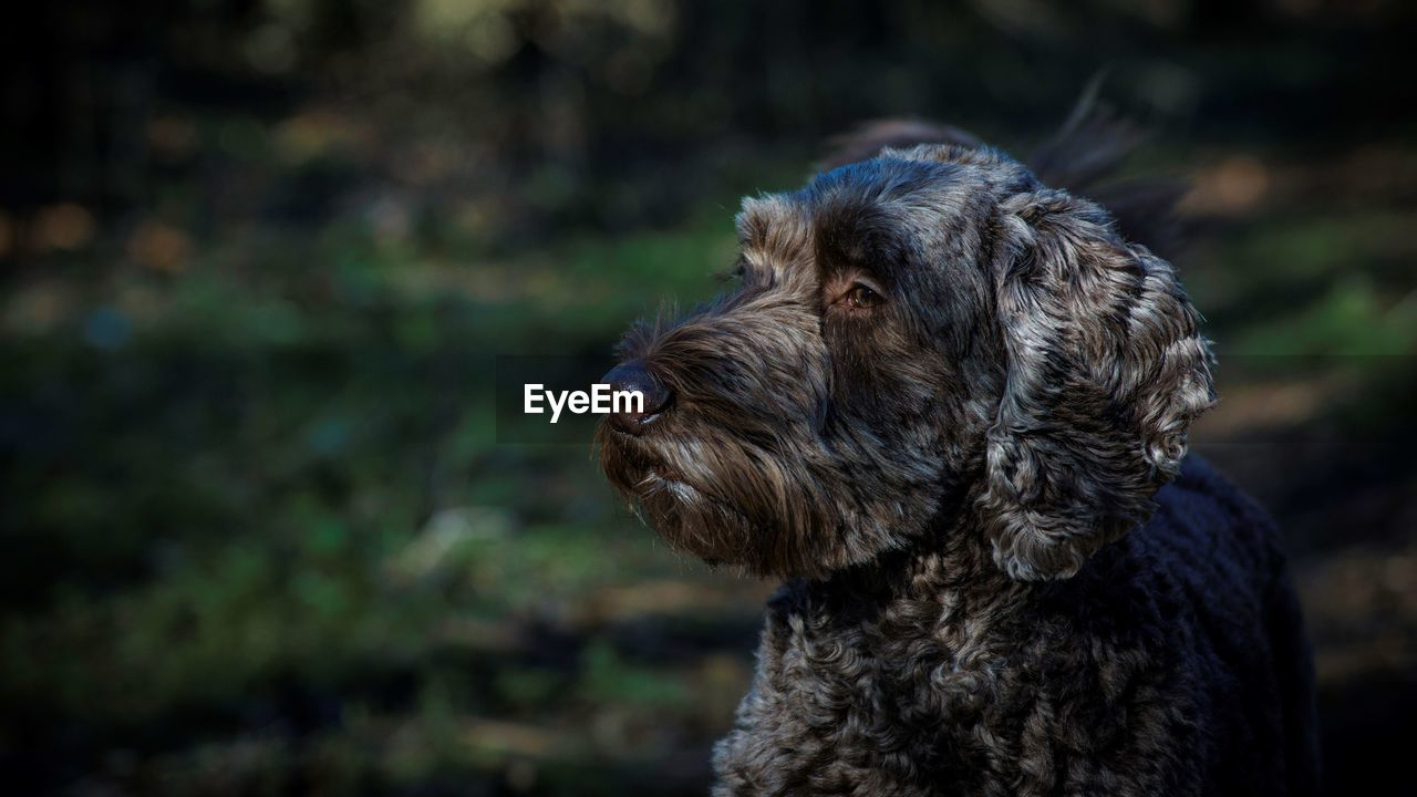 one animal, canine, dog, mammal, domestic, domestic animals, animal themes, pets, animal, vertebrate, focus on foreground, looking away, looking, no people, day, close-up, animal body part, nature, animal hair, outdoors, animal head, purebred dog