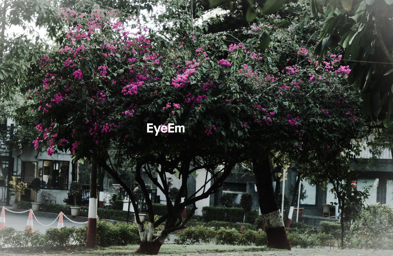 plant, flowering plant, flower, nature, tree, growth, pink color, beauty in nature, built structure, day, building exterior, architecture, no people, freshness, outdoors, front or back yard, park, fragility, building, blossom