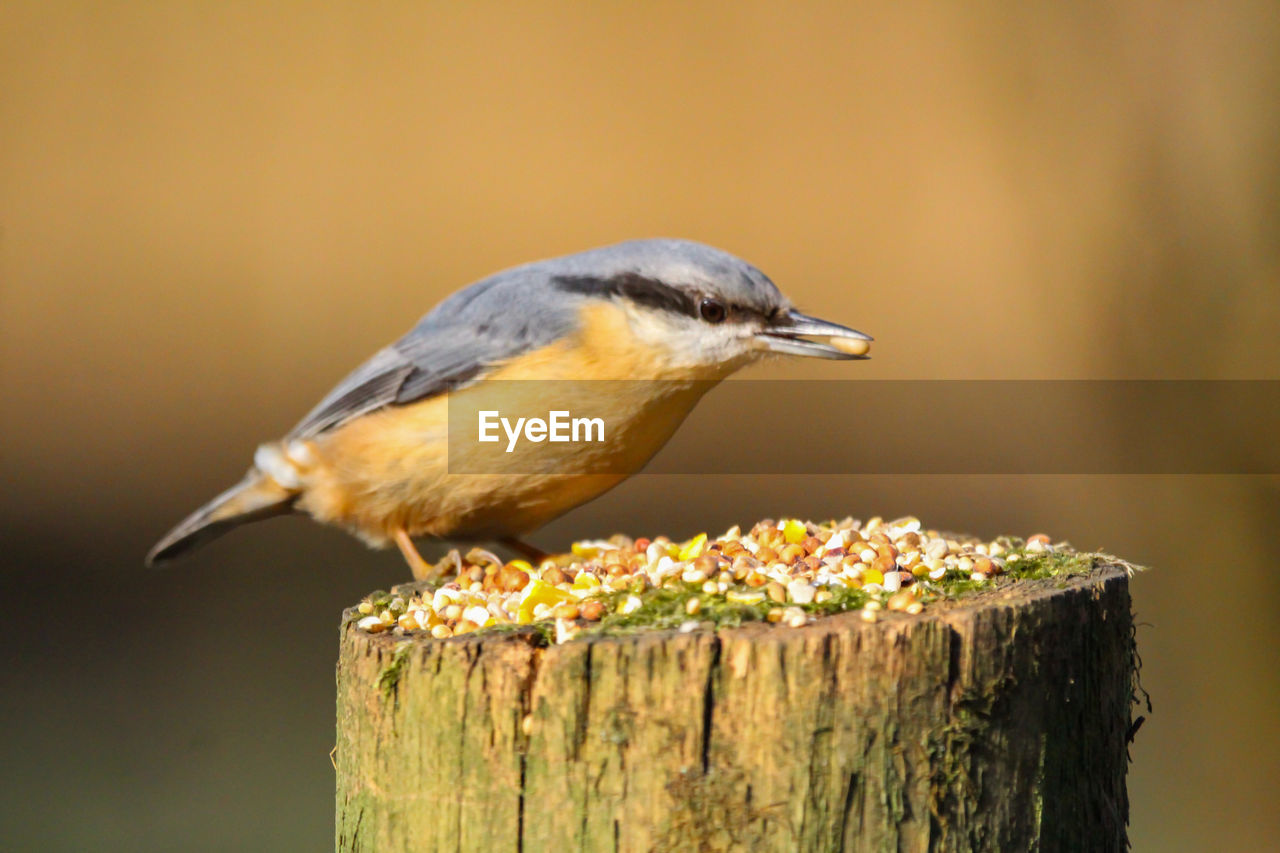 animal themes, animal wildlife, bird, vertebrate, animal, animals in the wild, one animal, wood - material, focus on foreground, close-up, perching, no people, day, nature, outdoors, post, wooden post, side view, bark, tree stump