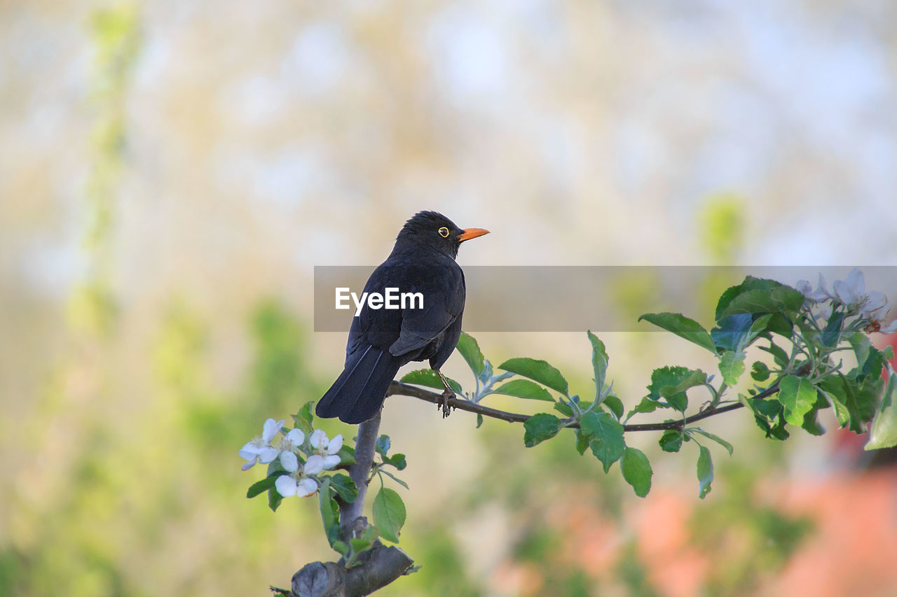 vertebrate, animal, animal wildlife, animal themes, animals in the wild, one animal, bird, plant, perching, day, no people, growth, nature, tree, black color, selective focus, flower, focus on foreground, beauty in nature, flowering plant, outdoors, blackbird