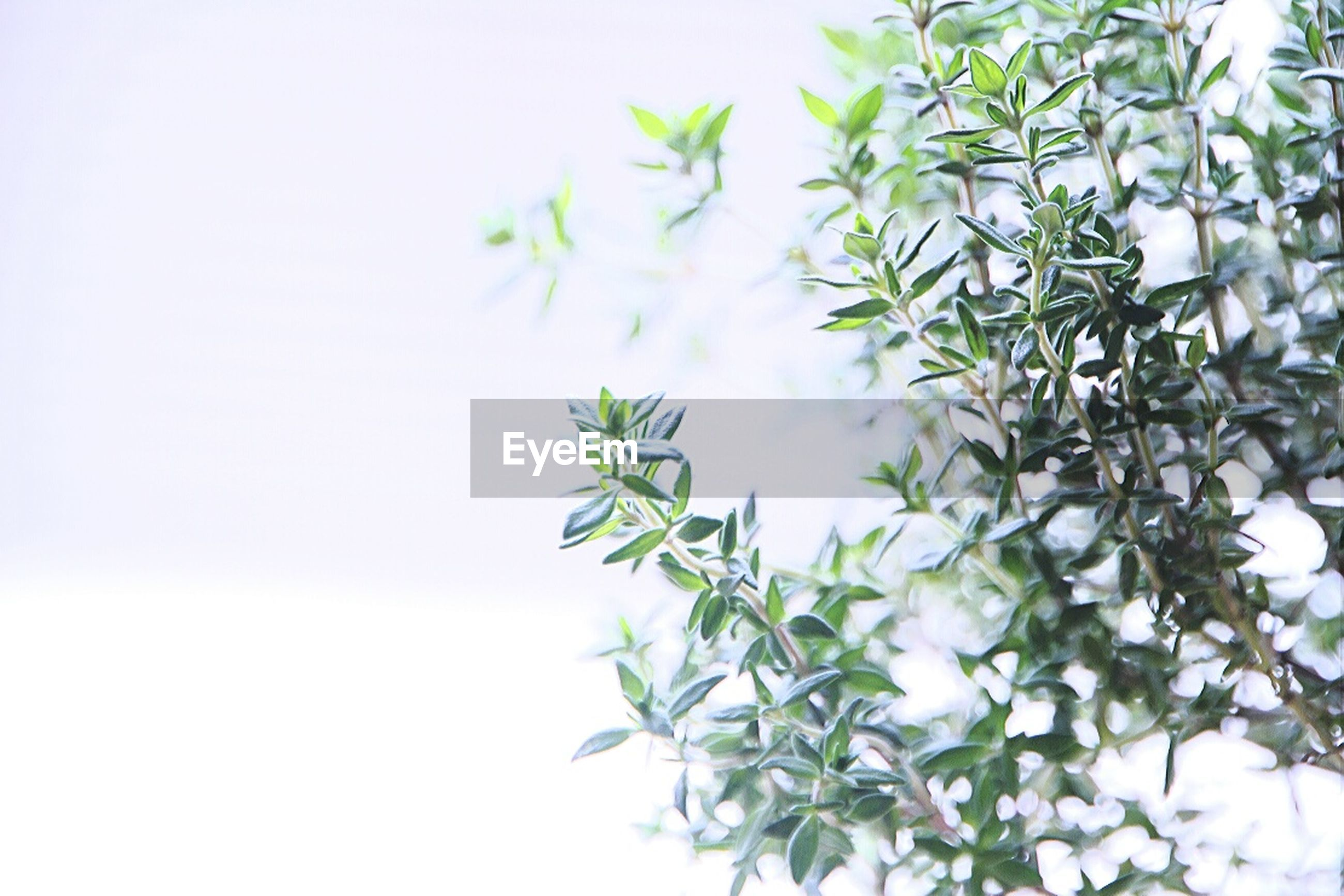 growth, leaf, plant, nature, freshness, green color, beauty in nature, close-up, copy space, flower, fragility, stem, green, white background, branch, white color, no people, low angle view, tree, day