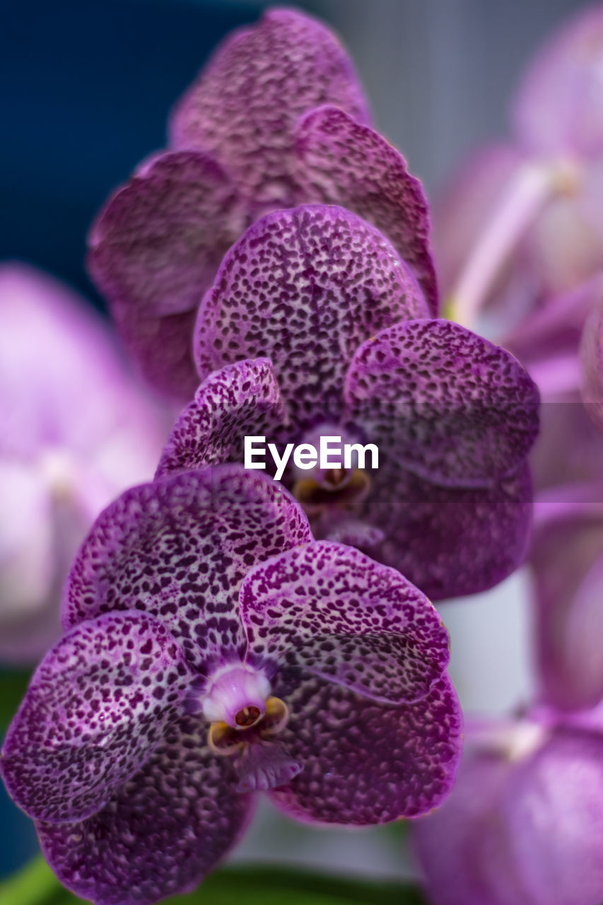 freshness, plant, growth, close-up, flowering plant, beauty in nature, flower, vulnerability, fragility, petal, inflorescence, flower head, no people, nature, focus on foreground, pink color, purple, selective focus, day, botany, outdoors, springtime, pollen, lilac