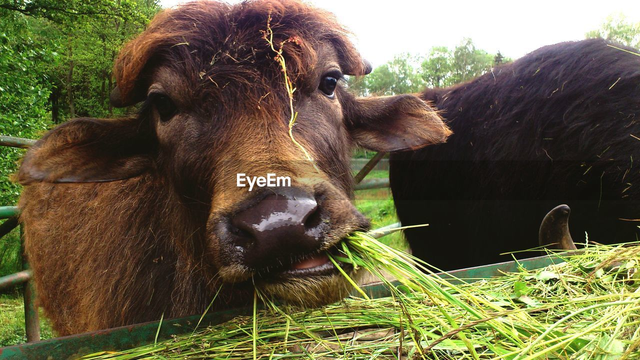 Close-up of cow eating grass