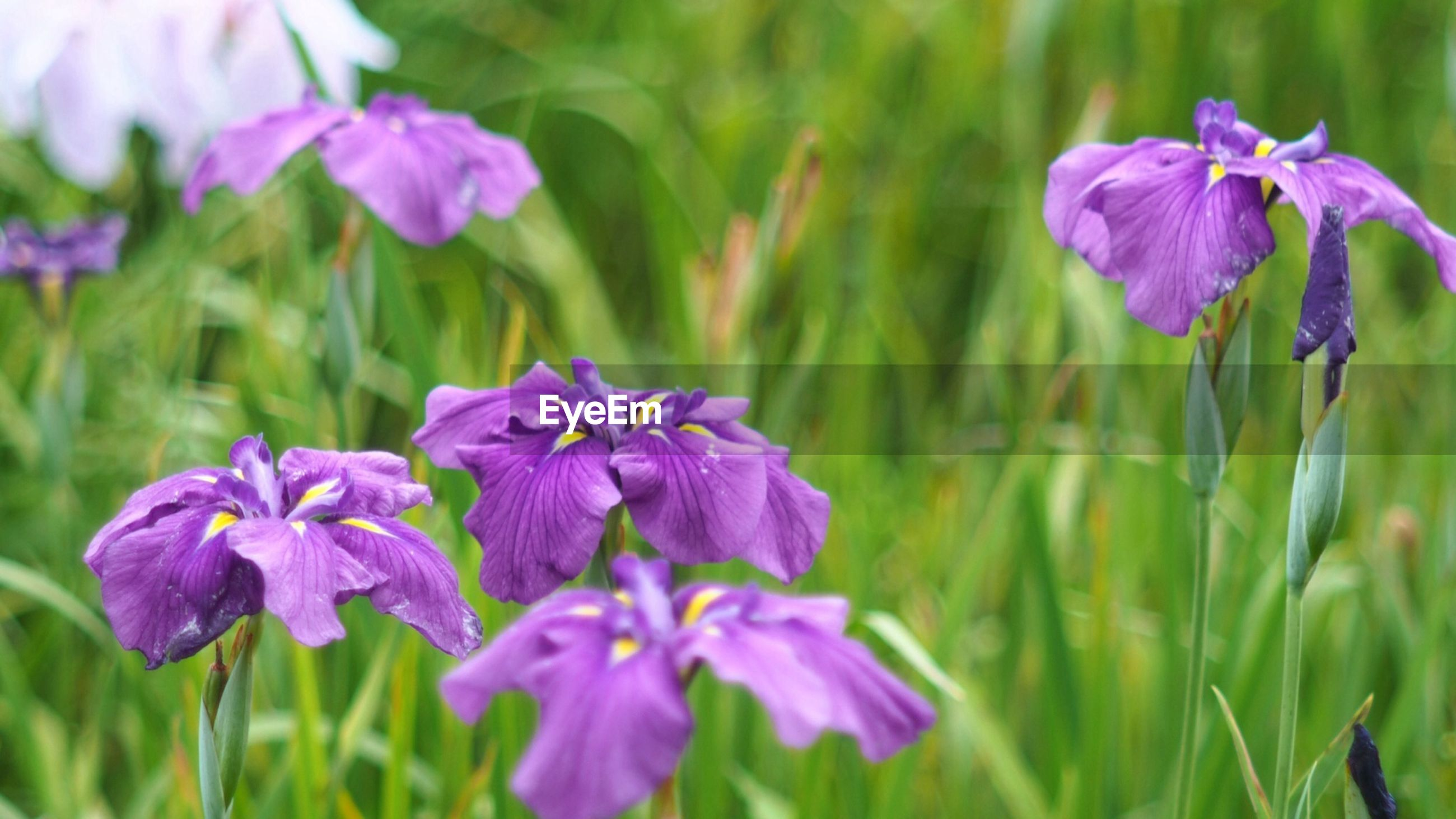 flower, freshness, purple, fragility, petal, growth, flower head, beauty in nature, focus on foreground, blooming, close-up, plant, nature, in bloom, field, stem, pink color, day, outdoors, selective focus