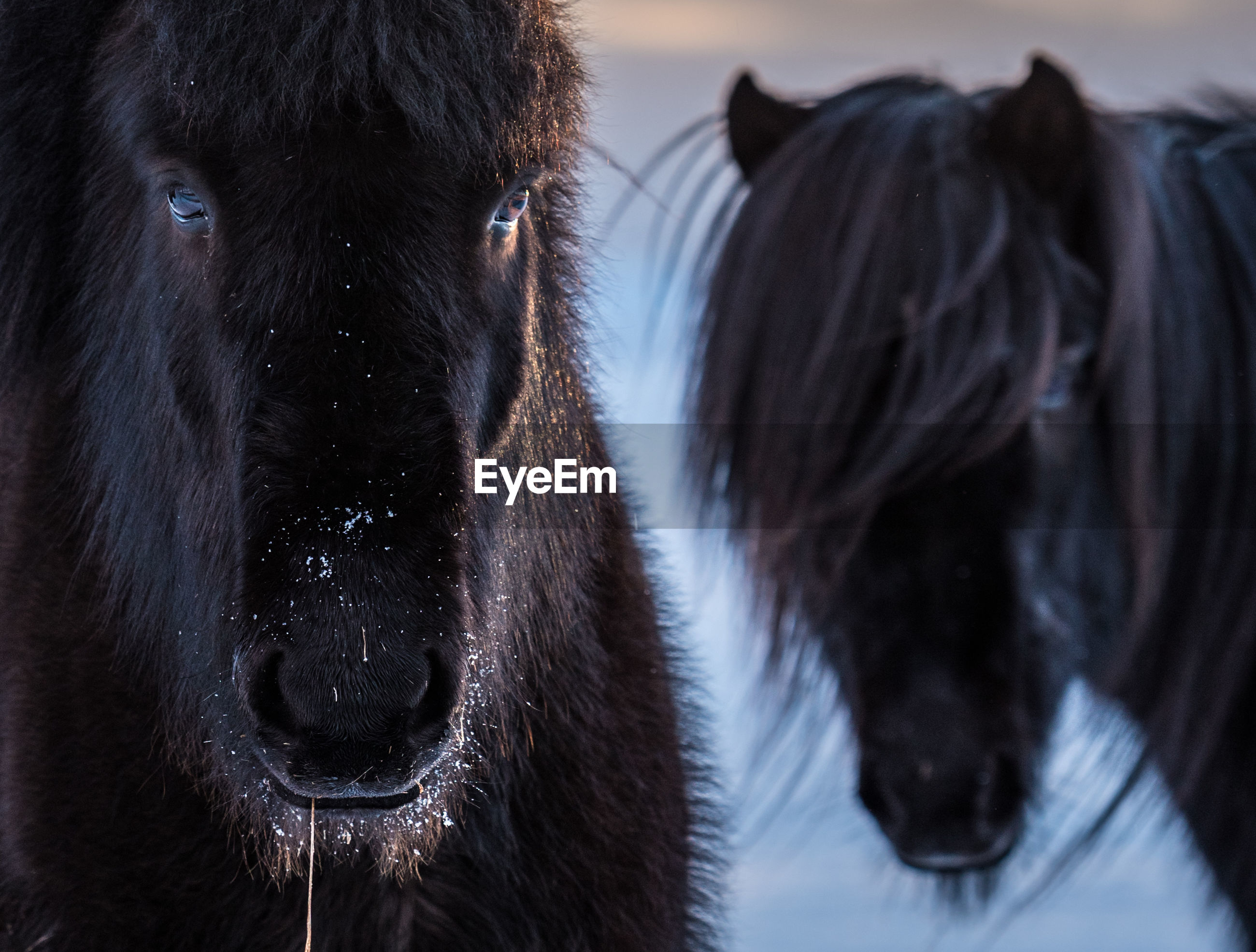 Close-up of icelandic horses during winter