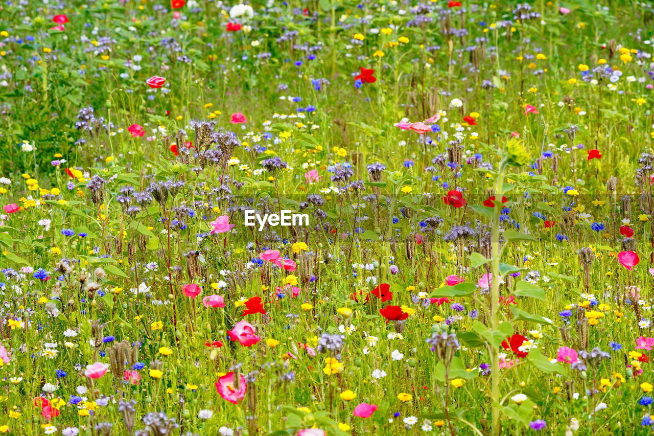 flowering plant, flower, plant, beauty in nature, fragility, freshness, field, vulnerability, nature, multi colored, land, meadow, green color, flowerbed, growth, plain, backgrounds, variation, grass, no people, outdoors, springtime, poppy, flower head, purple, ornamental garden