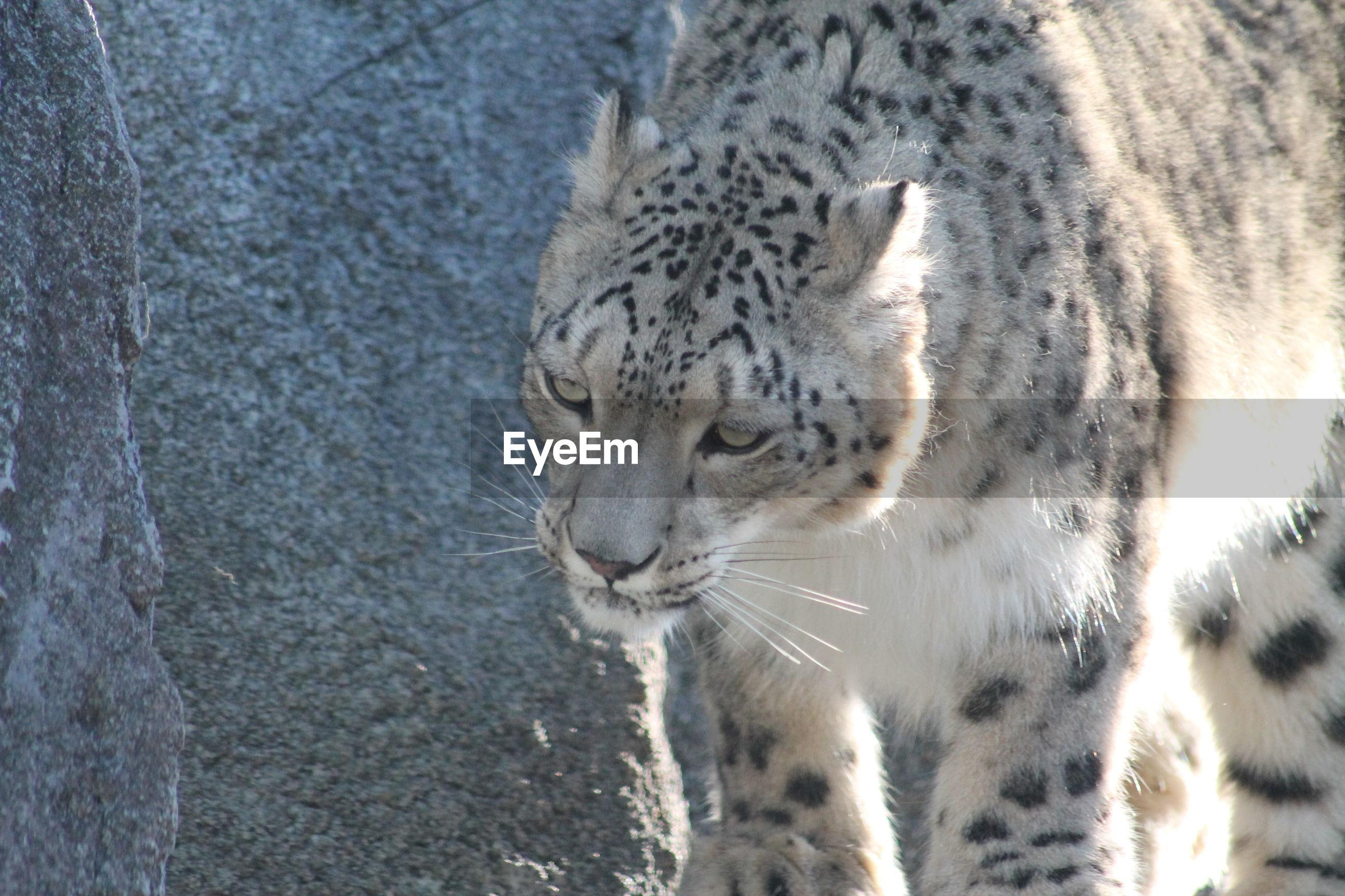Close-up of a snow leopard