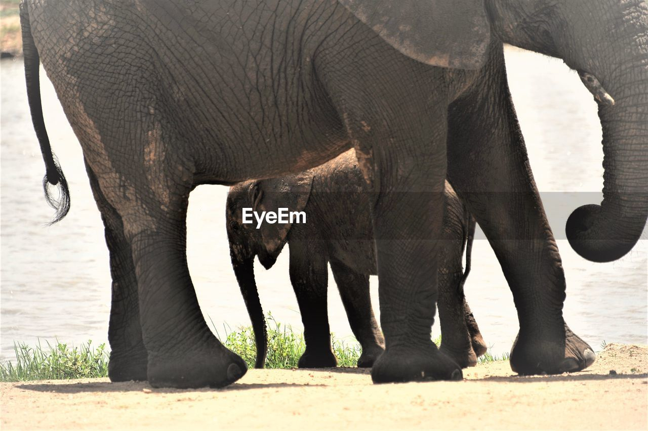 animal themes, elephant, mammal, animal, animal wildlife, animals in the wild, group of animals, vertebrate, animal body part, day, no people, animal trunk, domestic animals, herbivorous, nature, safari, sunlight, two animals, animal family, outdoors, african elephant, animal leg