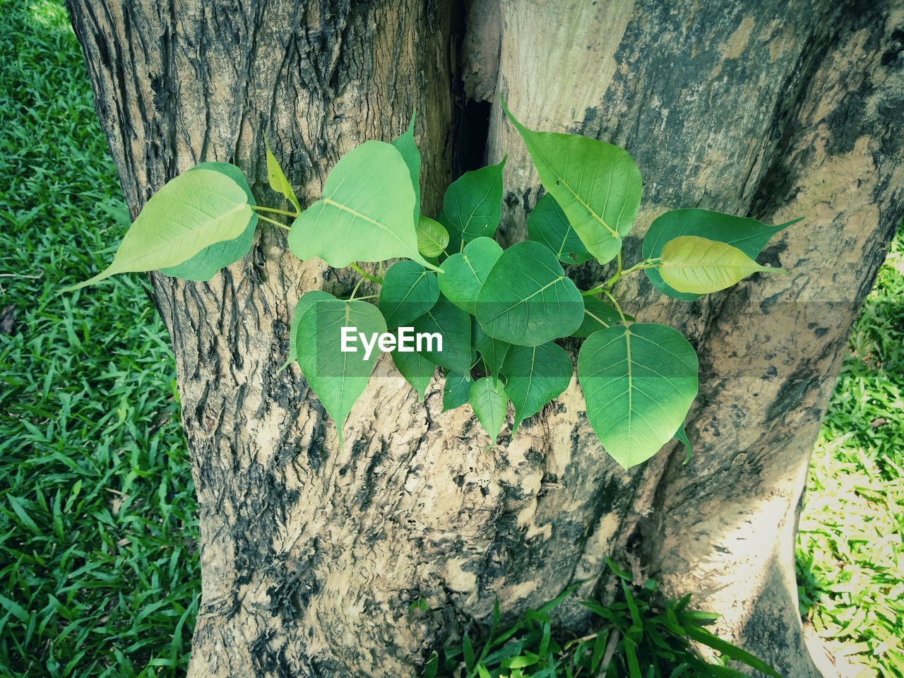 plant part, leaf, plant, green color, growth, nature, trunk, tree trunk, tree, day, close-up, high angle view, no people, wood - material, outdoors, beauty in nature, ivy, bark, land, creeper plant, clover, leaves