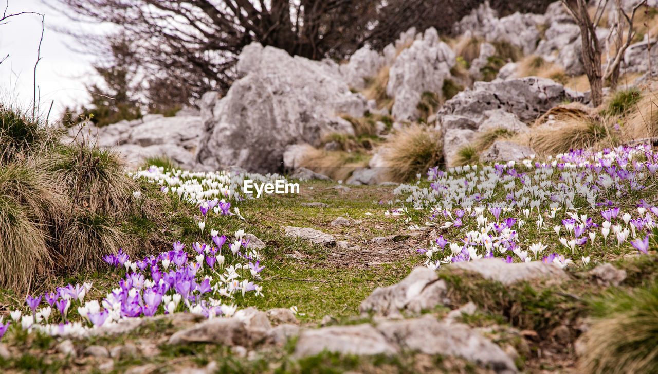 flower, nature, purple, plant, beauty in nature, outdoors, growth, no people, day, landscape, fragility, flower head, crocus, close-up, freshness