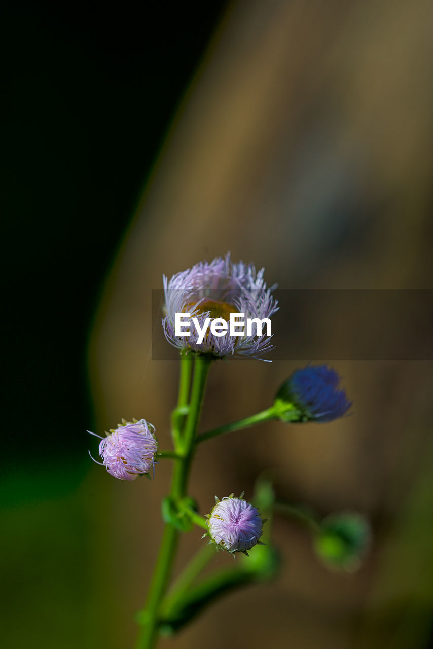 flowering plant, flower, vulnerability, fragility, plant, beauty in nature, freshness, growth, close-up, petal, flower head, inflorescence, selective focus, nature, no people, day, focus on foreground, botany, plant stem, purple, outdoors, softness