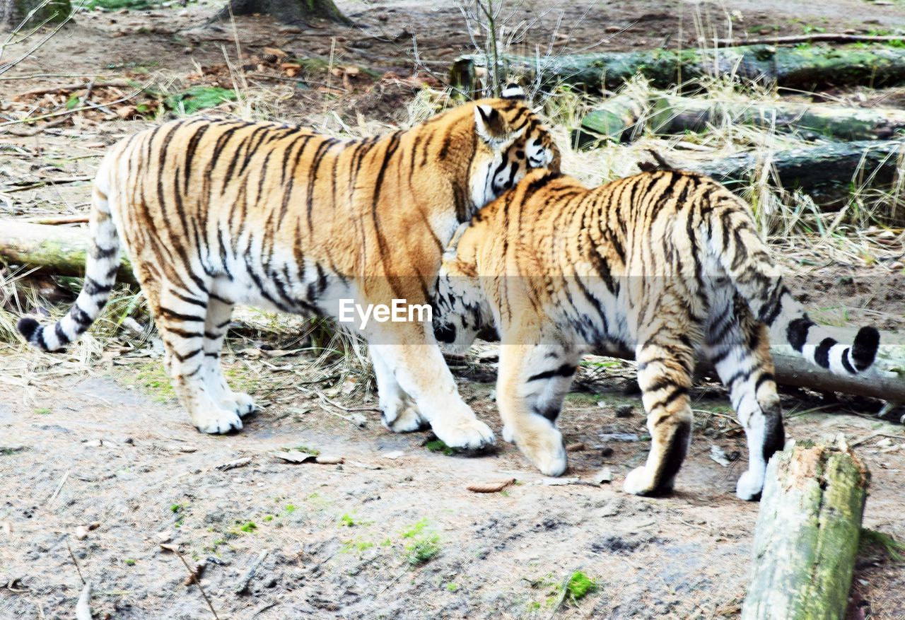 animal, animal themes, animal wildlife, mammal, animals in the wild, big cat, tiger, feline, cat, group of animals, vertebrate, no people, day, nature, land, carnivora, two animals, animal markings, endangered species, zoo, outdoors