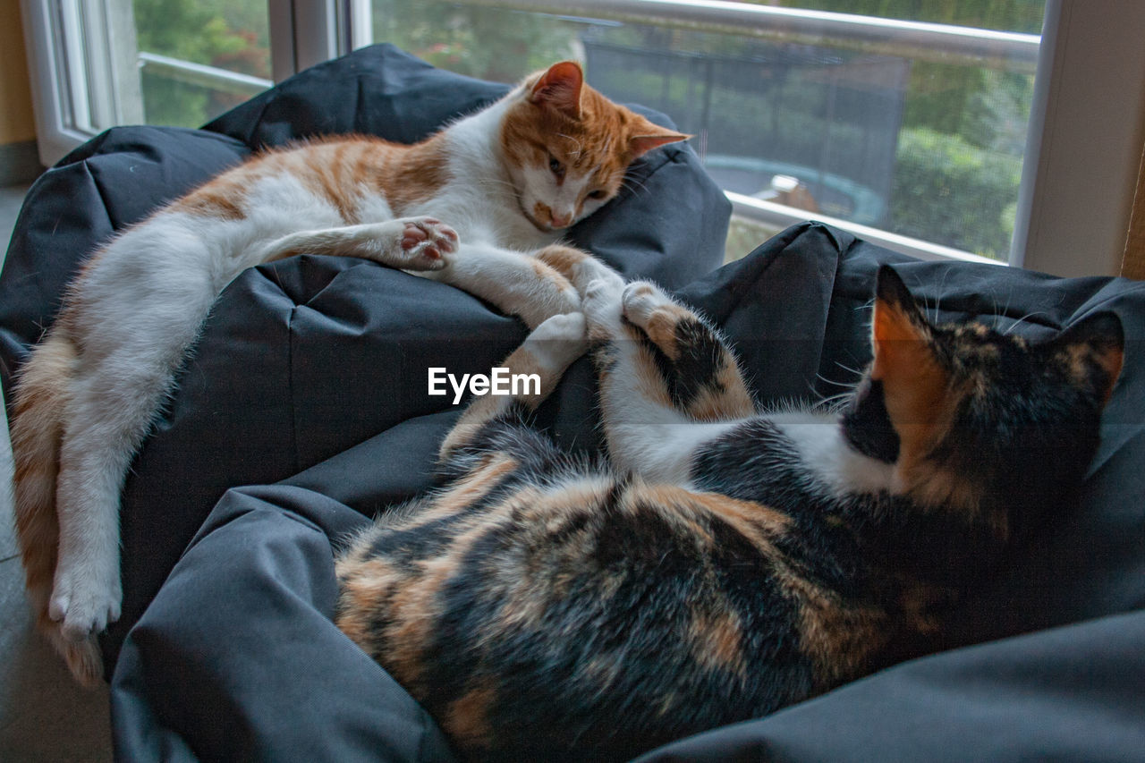 domestic cat, cat, domestic, pets, feline, domestic animals, mammal, animal themes, animal, vertebrate, relaxation, group of animals, two animals, indoors, furniture, home interior, no people, resting, whisker
