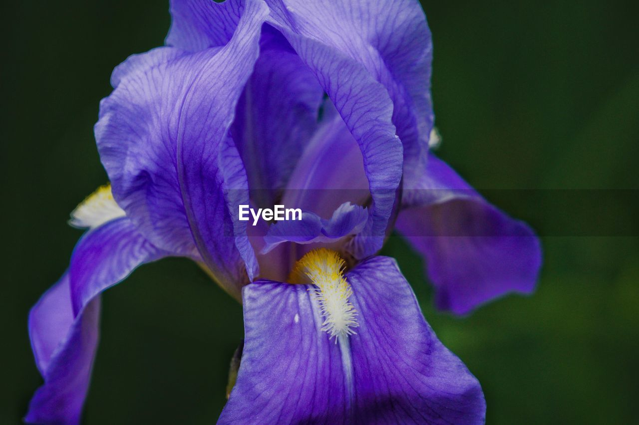 Close-up Of Purple Iris Flower