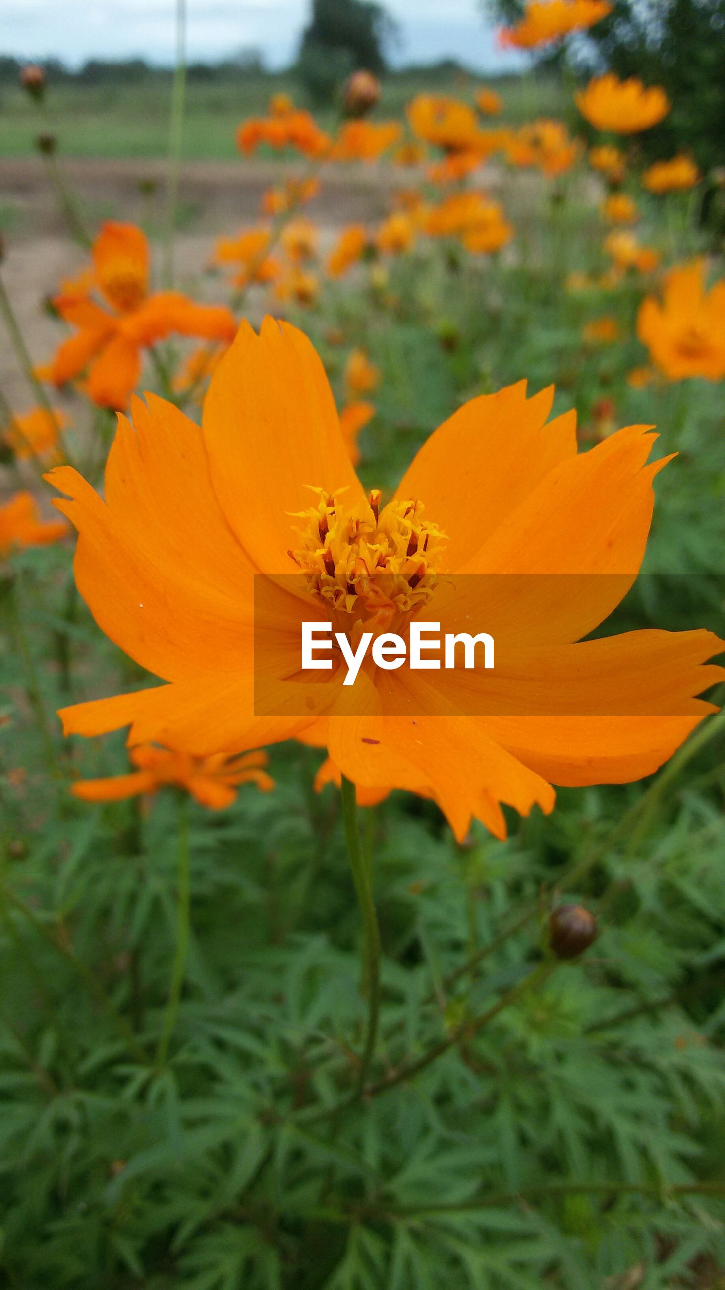 flower, petal, freshness, flower head, fragility, focus on foreground, growth, beauty in nature, orange color, close-up, blooming, nature, plant, yellow, pollen, in bloom, single flower, field, park - man made space, stamen