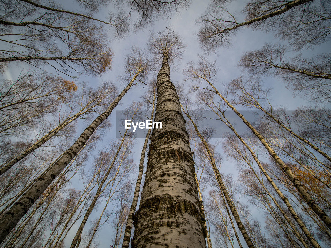 tree, low angle view, tree trunk, trunk, plant, tall - high, no people, forest, nature, sky, tranquility, growth, land, day, outdoors, wood - material, directly below, beauty in nature, birch tree, woodland, tree canopy, bark, bamboo - plant