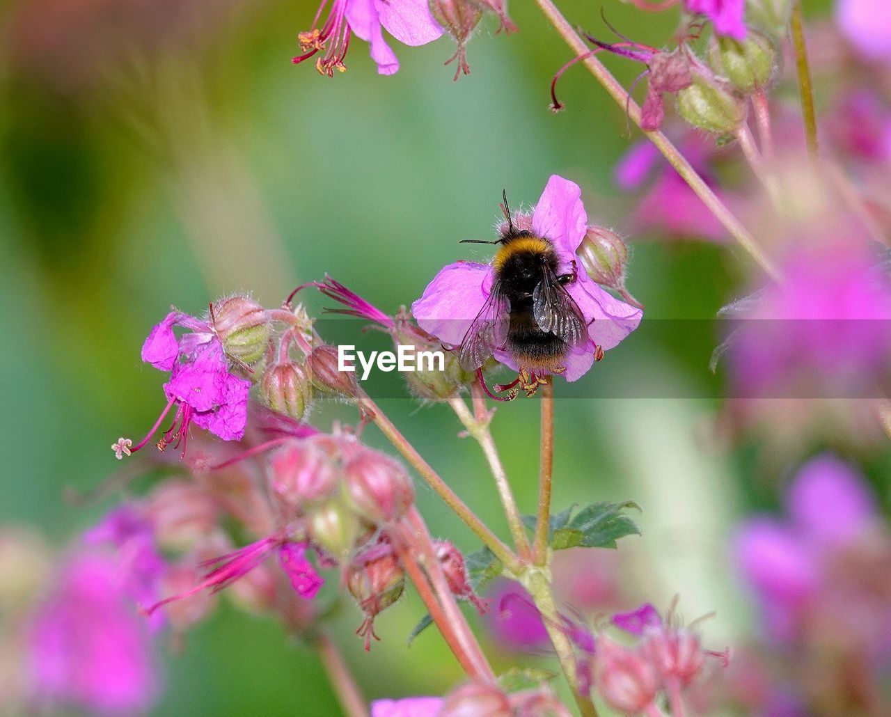 flowering plant, flower, animal themes, invertebrate, insect, one animal, animals in the wild, animal, plant, animal wildlife, bee, beauty in nature, fragility, pollination, petal, growth, flower head, vulnerability, close-up, freshness, pink color, bumblebee, no people, purple