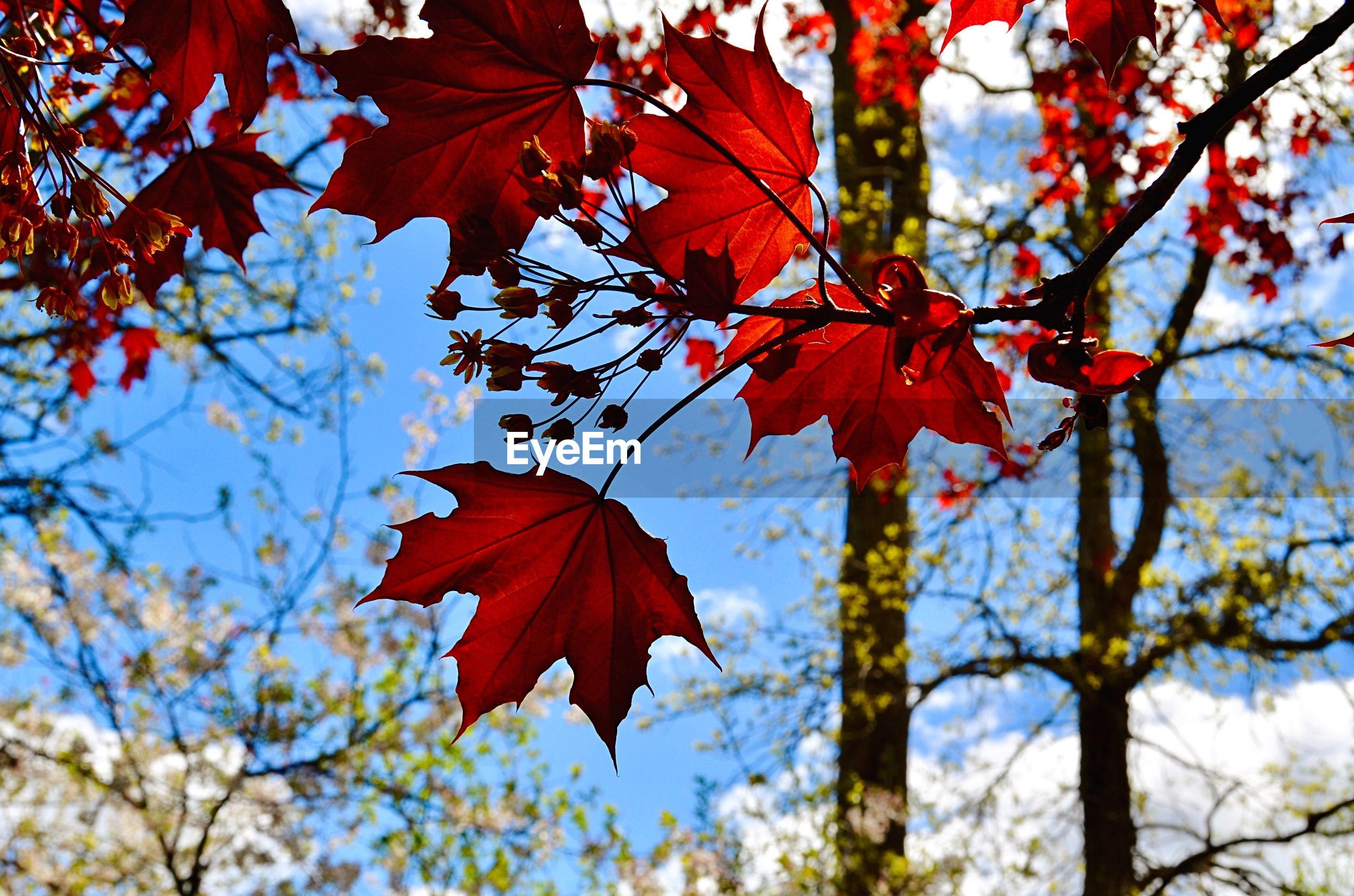 LOW ANGLE VIEW OF MAPLE LEAVES ON BRANCH