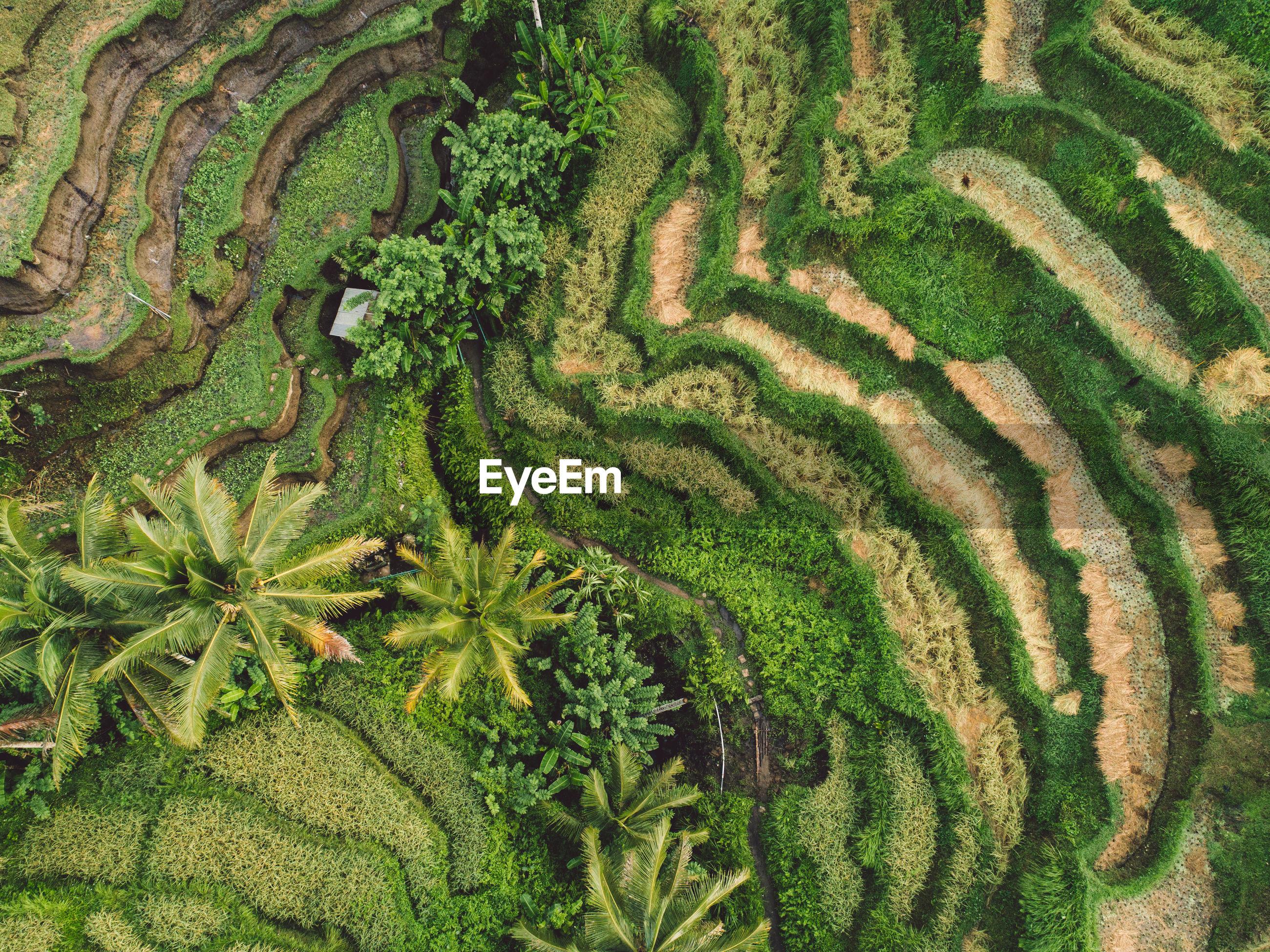 Full frame shot of rice paddy