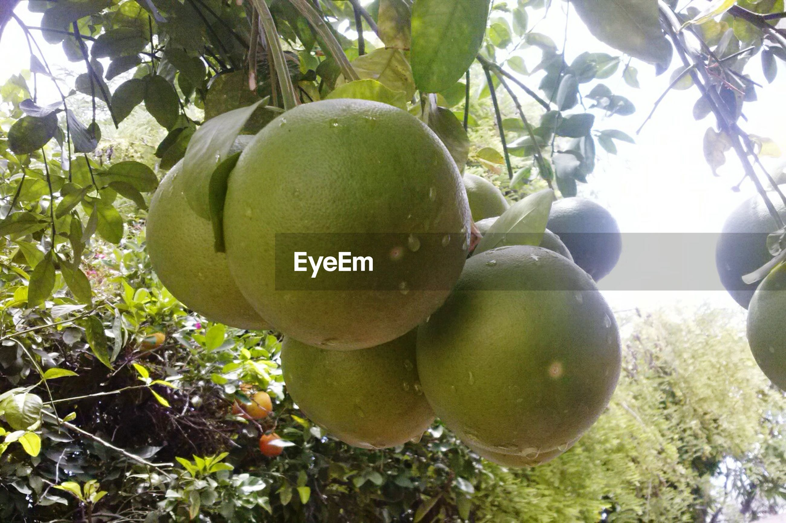 fruit, food and drink, tree, healthy eating, green color, food, growth, freshness, leaf, close-up, branch, hanging, low angle view, nature, ripe, agriculture, growing, apple - fruit, day, apple