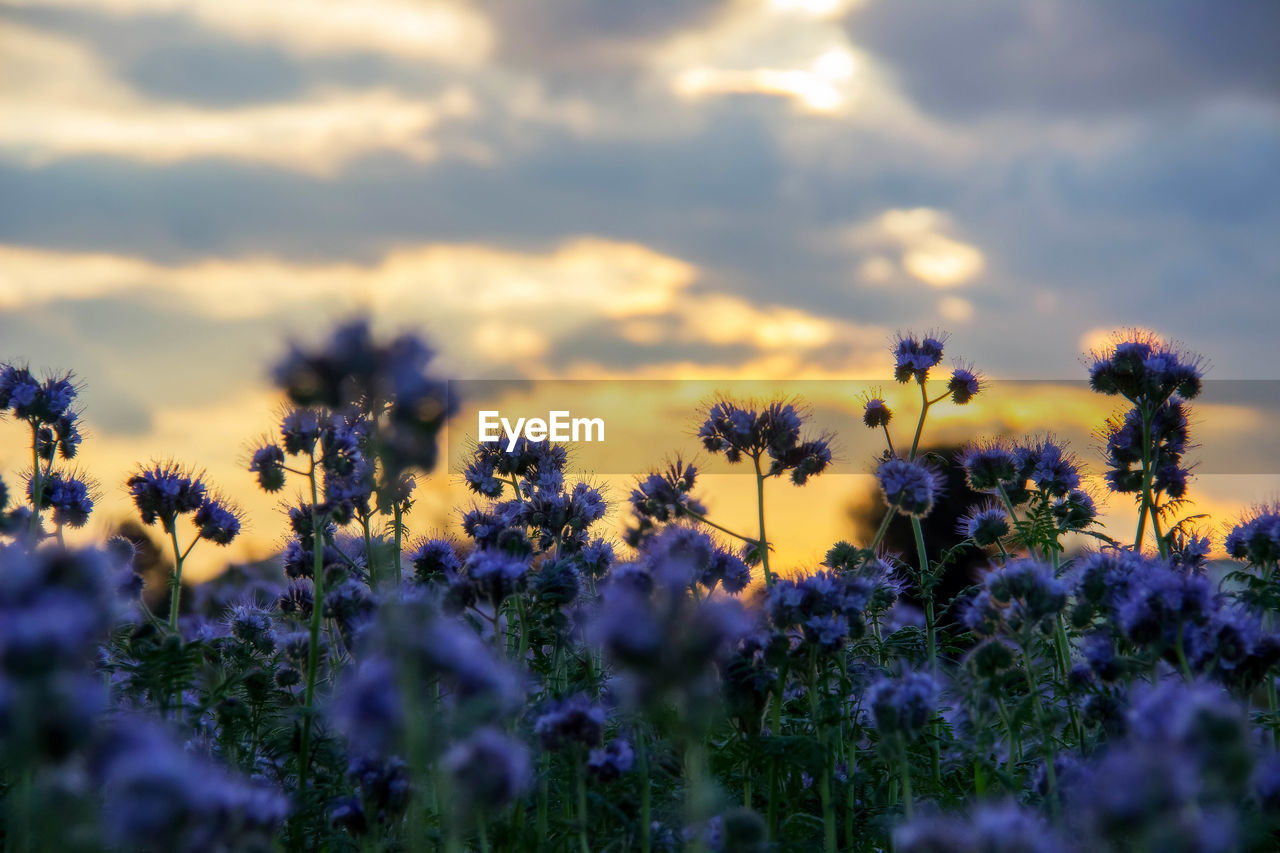 flower, nature, beauty in nature, growth, plant, yellow, selective focus, fragility, purple, no people, field, tranquility, outdoors, day, sunset, sky, freshness, flower head, close-up