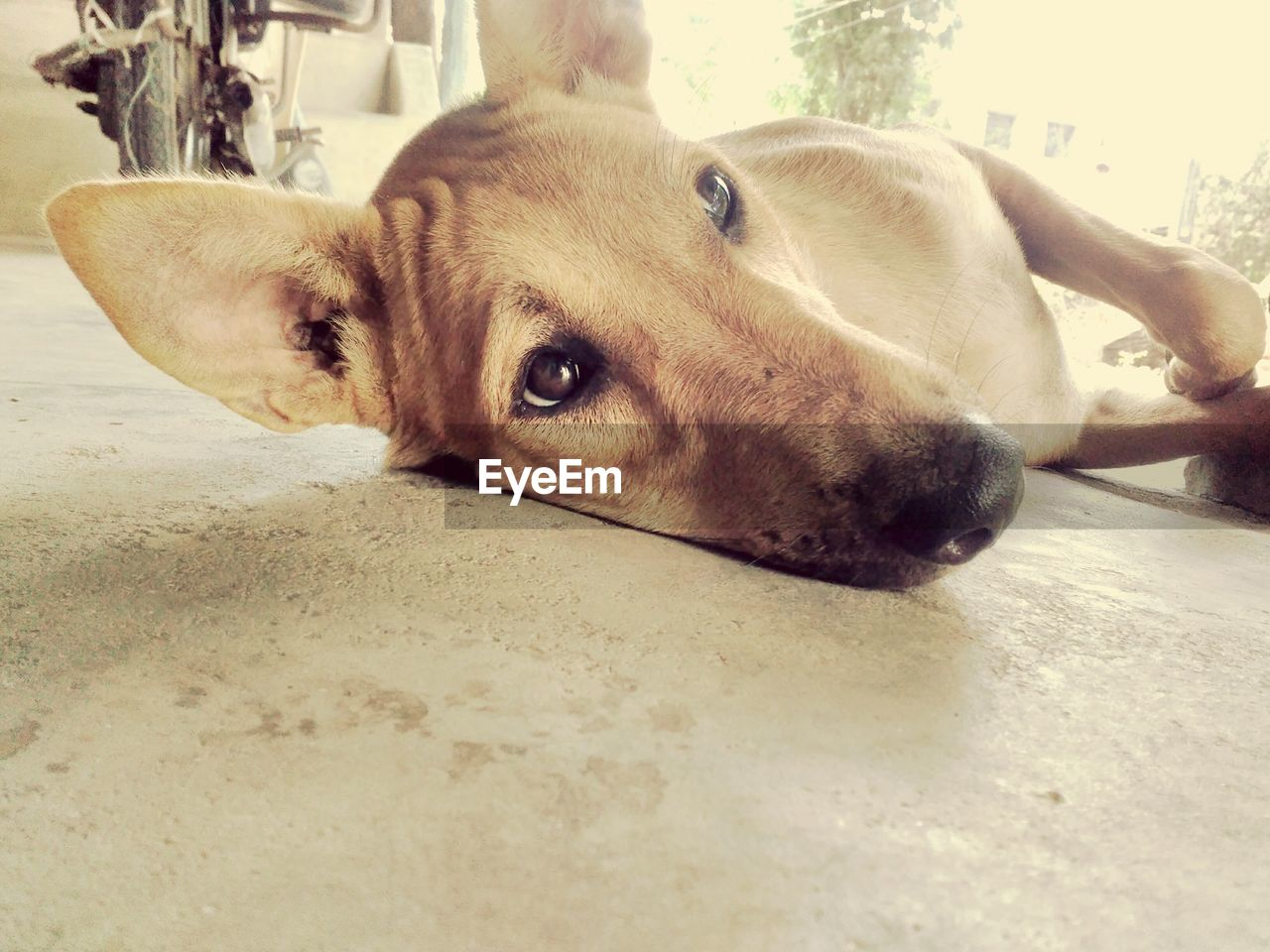 dog, animal themes, one animal, mammal, pets, domestic animals, relaxation, lying down, no people, close-up, portrait, looking at camera, day, indoors