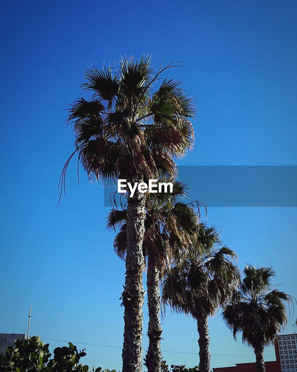 palm tree, tree, blue, low angle view, clear sky, tree trunk, growth, day, sky, outdoors, nature, beauty in nature, tranquility, no people, scenics