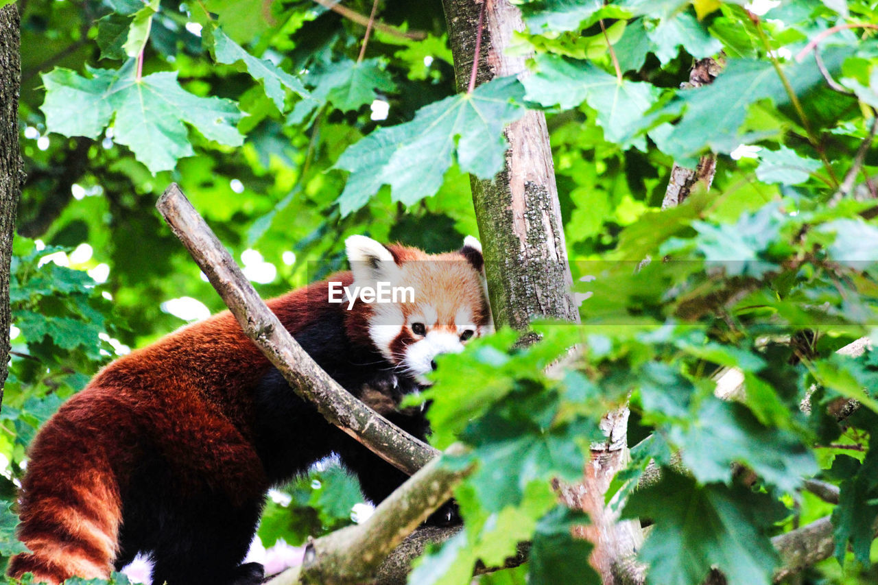 animal themes, one animal, animal, mammal, plant, tree, vertebrate, red panda, branch, animal wildlife, animals in the wild, nature, no people, day, leaf, plant part, green color, outdoors, selective focus, portrait, whisker