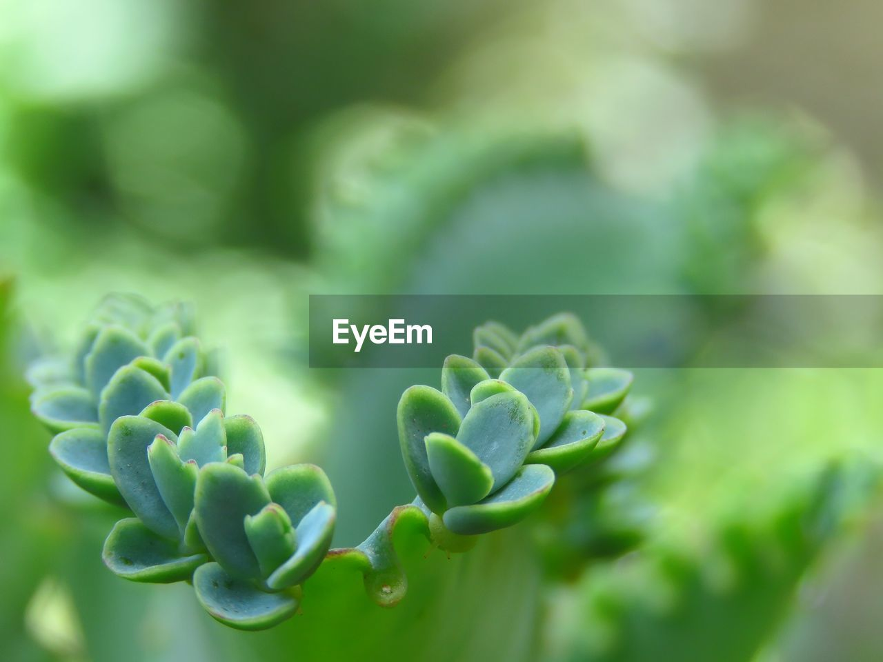 growth, green color, plant, beauty in nature, no people, nature, selective focus, close-up, day, plant part, leaf, freshness, focus on foreground, outdoors, tranquility, vulnerability, fragility, succulent plant, botany, natural pattern