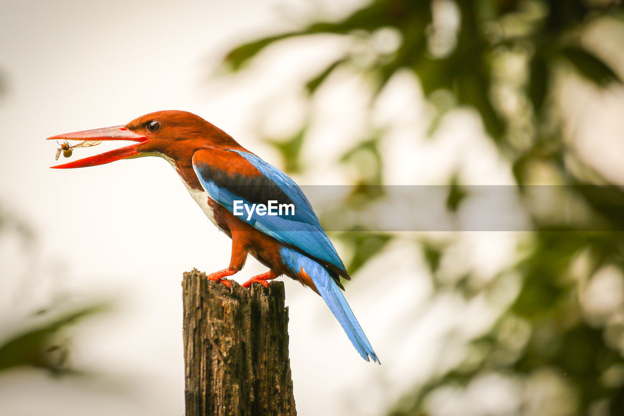 animal wildlife, animal, animal themes, vertebrate, animals in the wild, bird, one animal, kingfisher, focus on foreground, tree, perching, no people, day, branch, nature, plant, wood - material, close-up, outdoors, blue, beak, wooden post, profile view