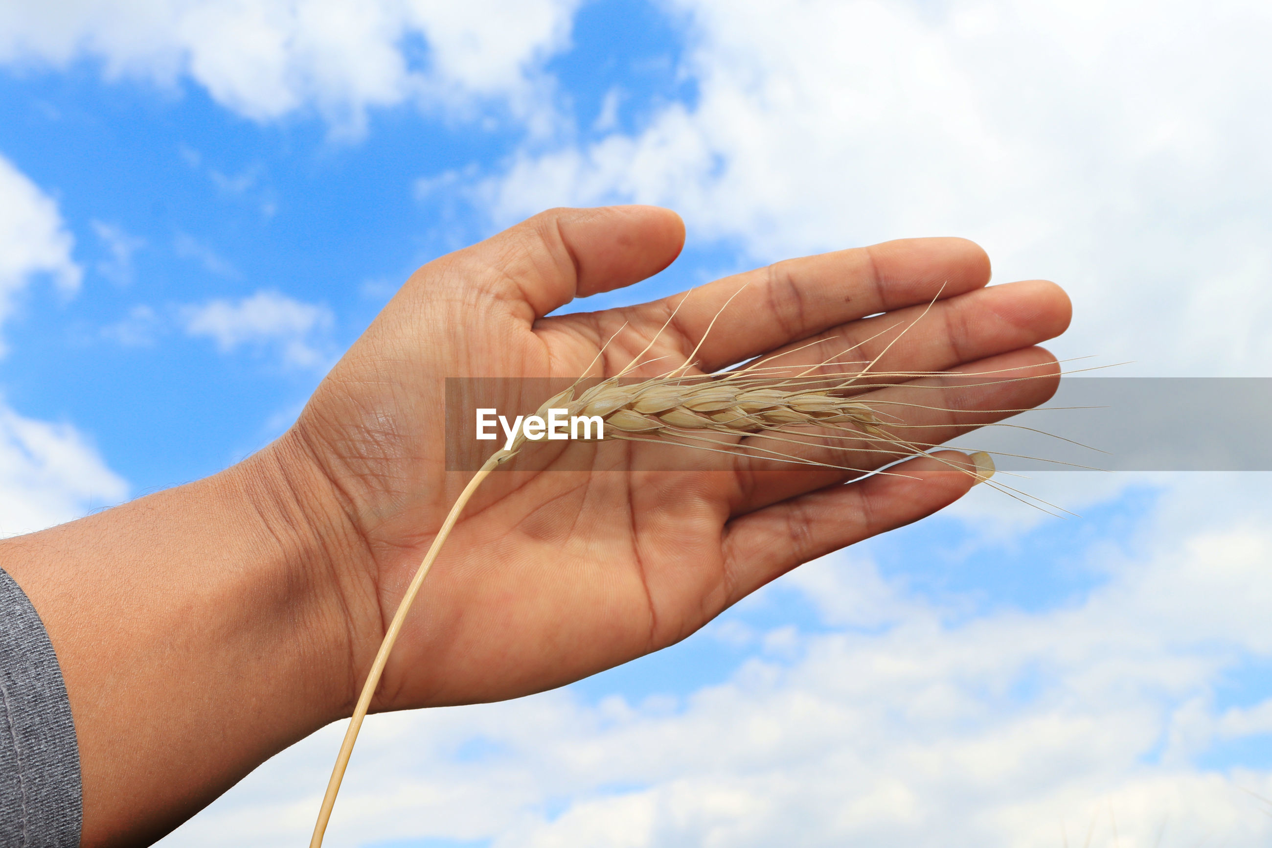 Low angle view of hand holding ear of wheat against sky